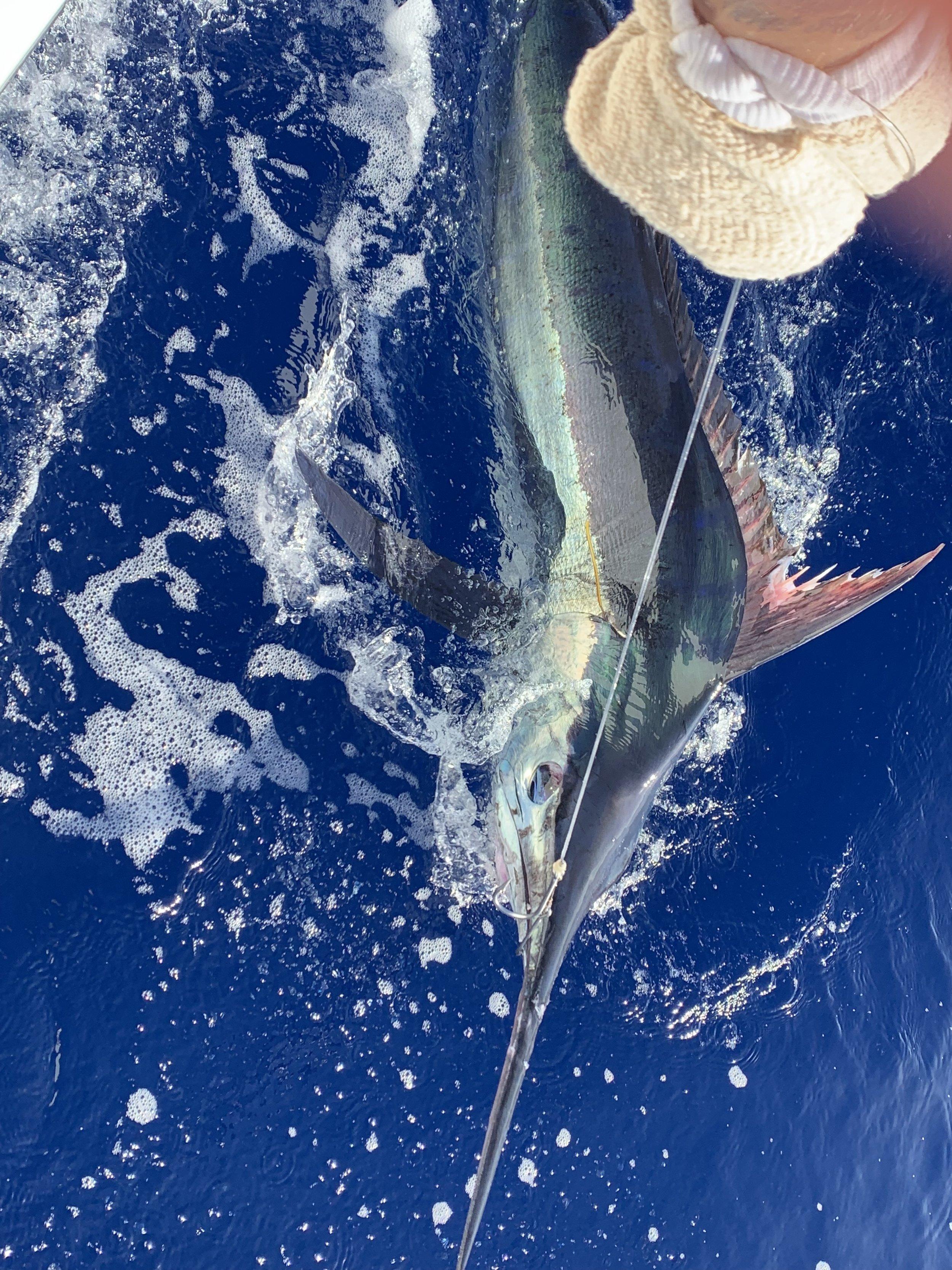 Tagged Blue Marlin