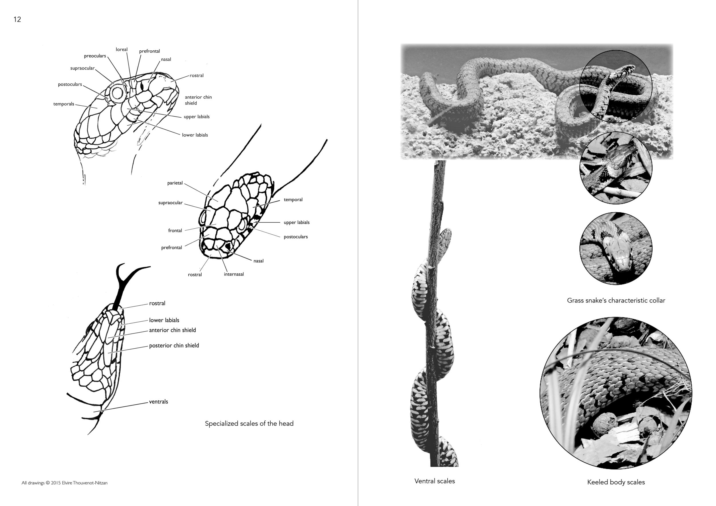 Elvire Thouveno Natrix Natrix Research7.png
