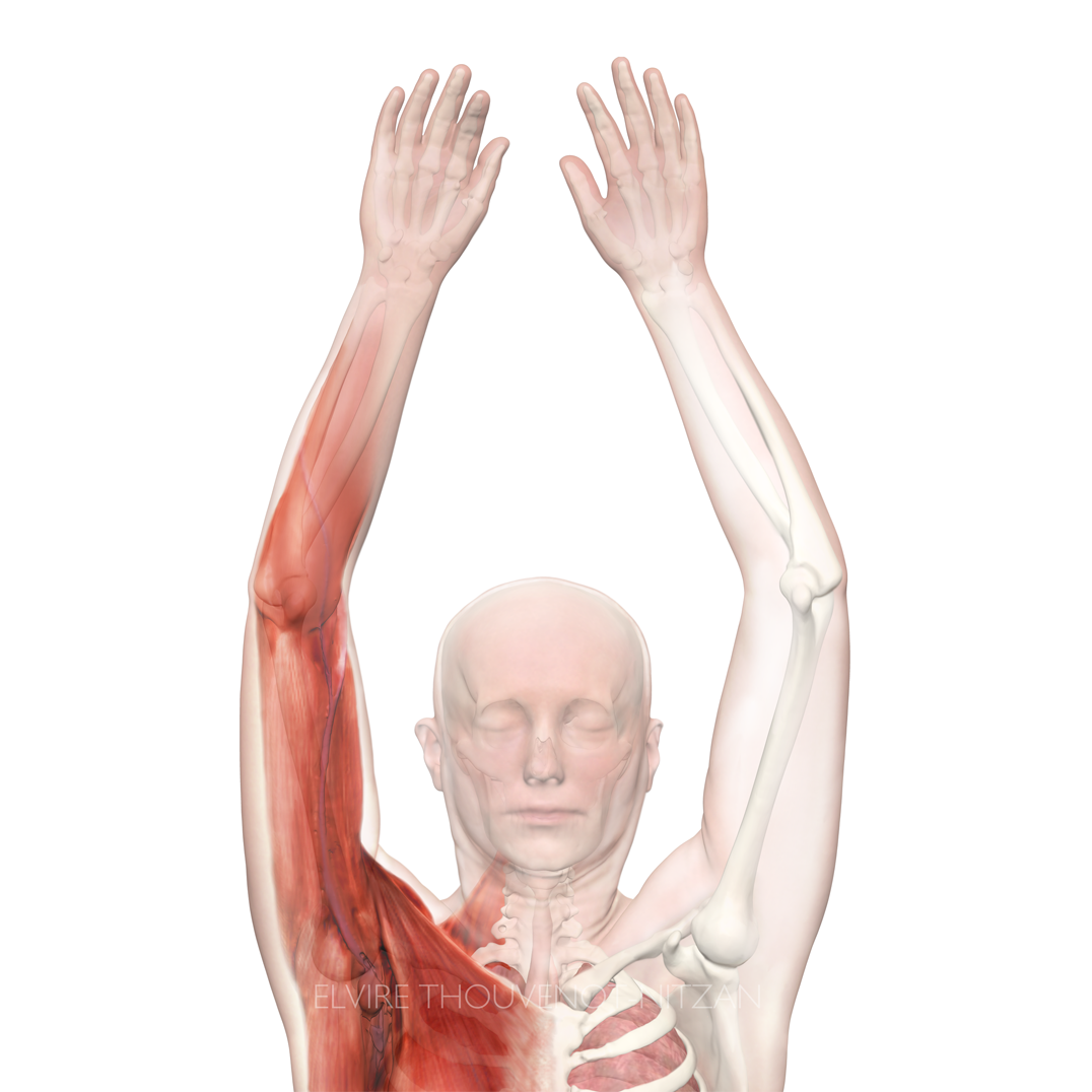 CT Data Reconstruction   Illustrations of the upper body musculo-skeletal system derived from CT data.