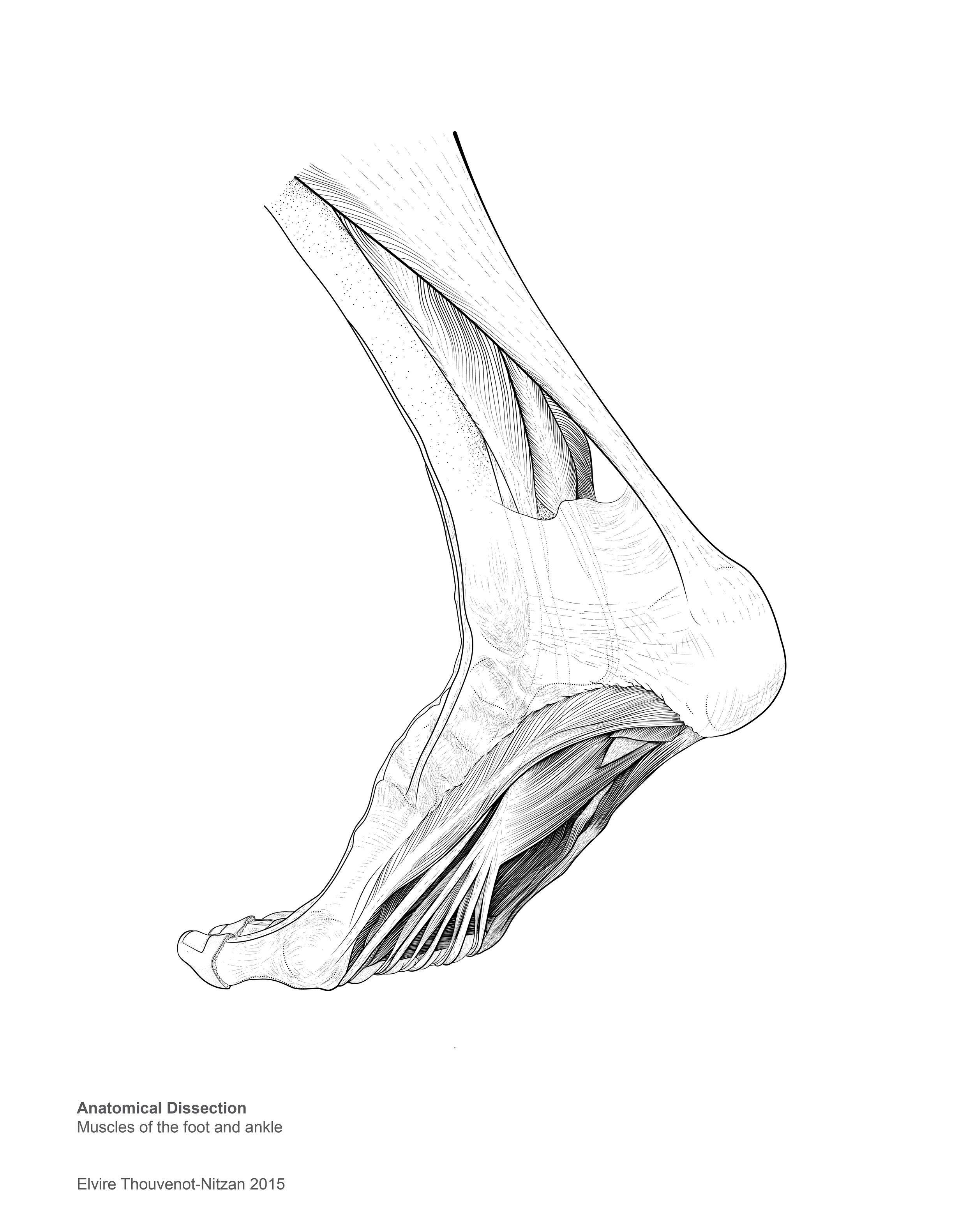 Elvire Thouvenot Dissection DrawingUnlabelled 2.png