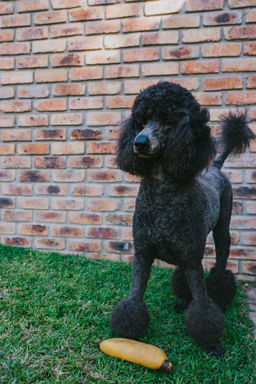 Poodles-84.jpg