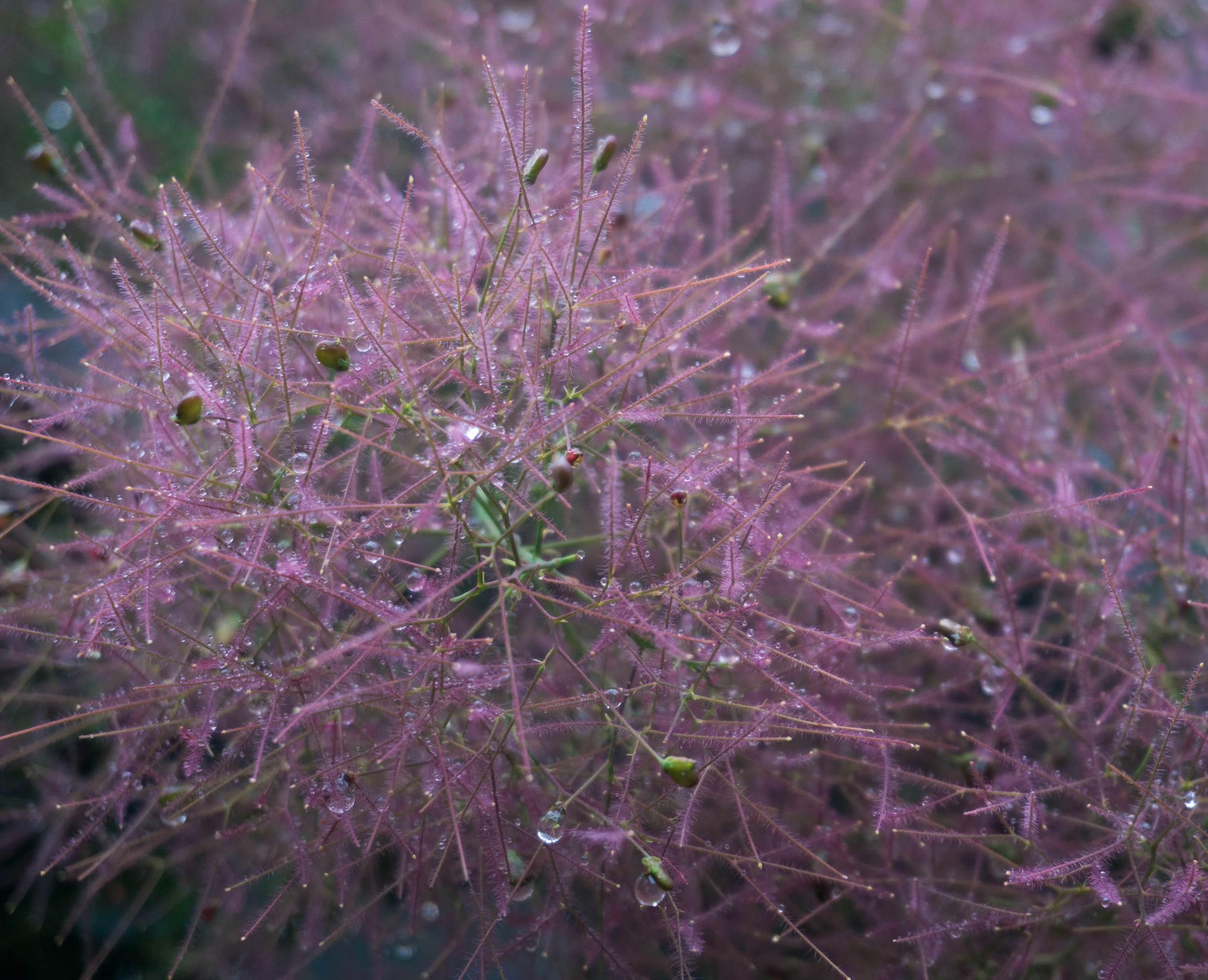 Smokebush-flower .jpg