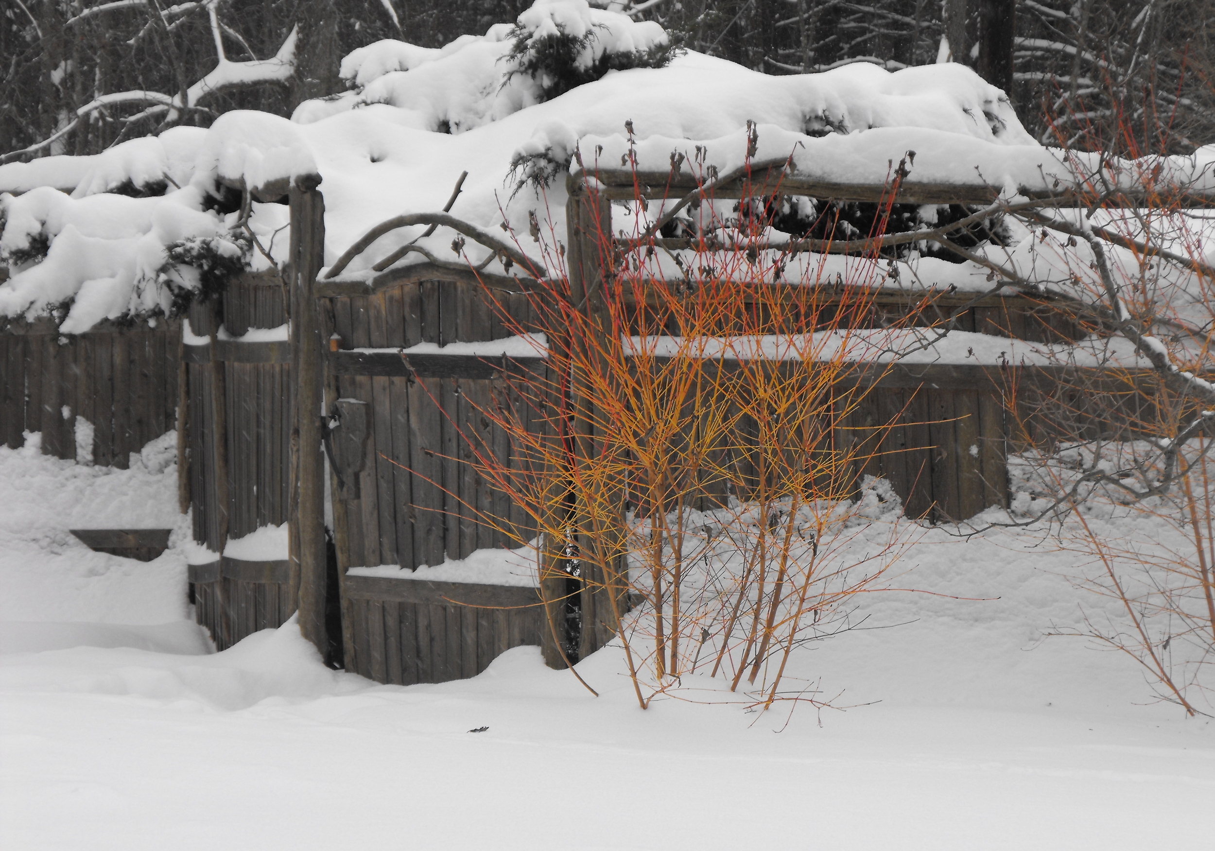 Winter and the dogwood.JPG