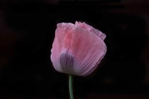 Poppy-Black-Background-1030-300x200.jpg