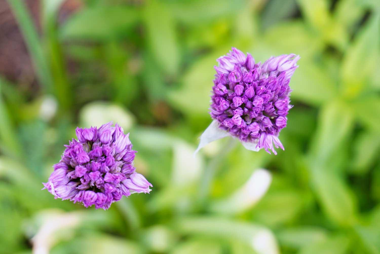 2-purple-alliums-DSC02451.jpg