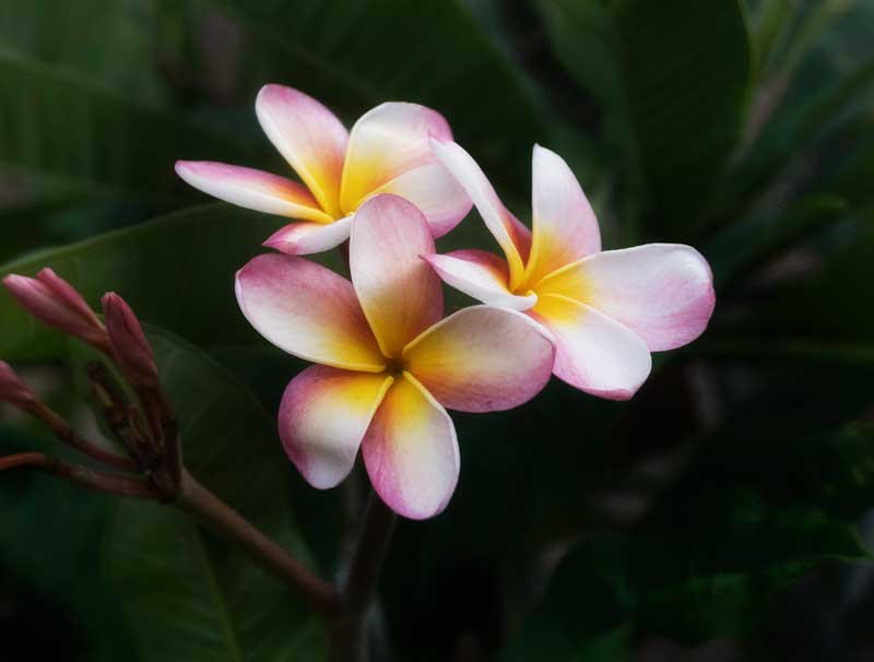 Plumeria, the everlasting lei Flower