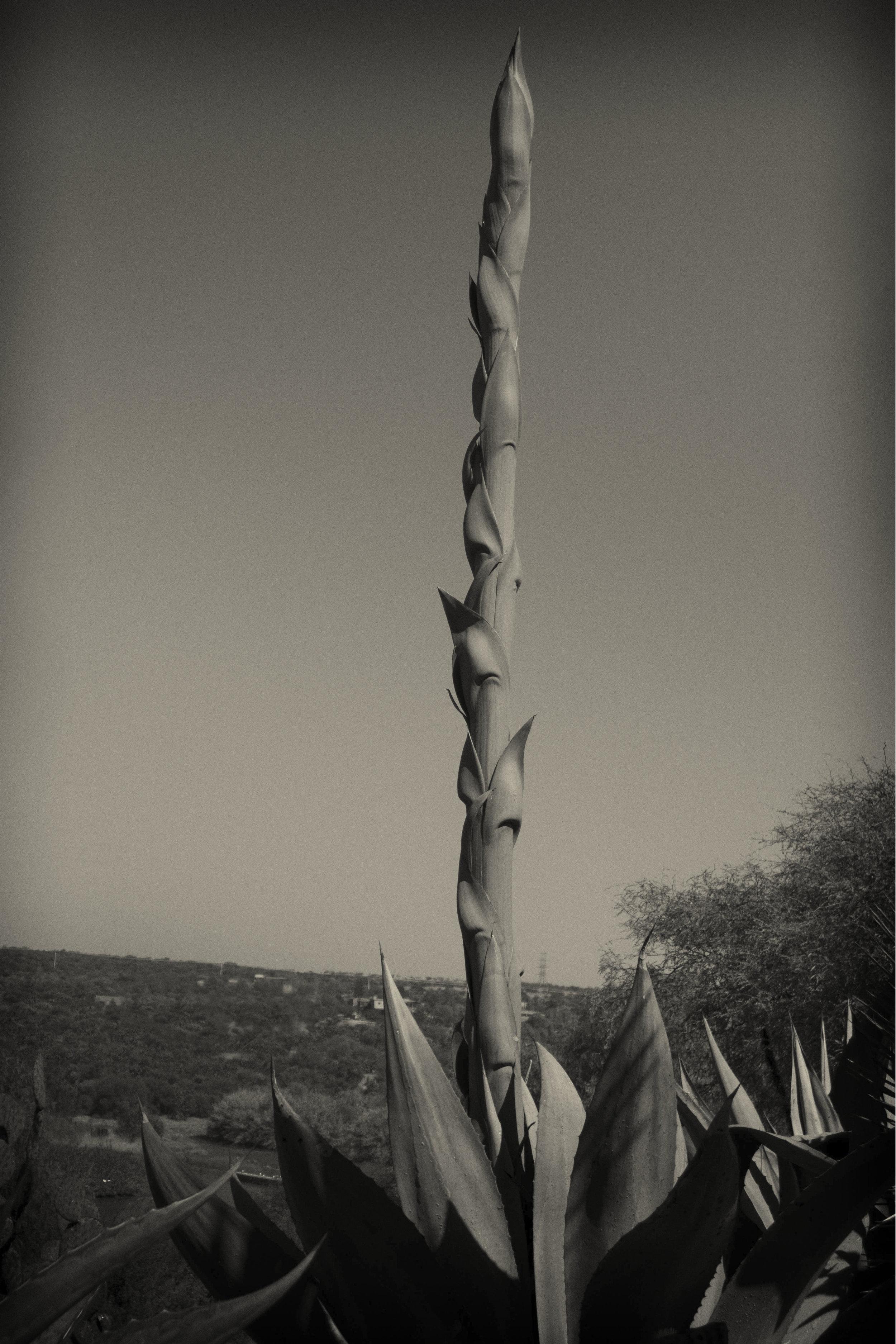 The giant mast of agave,El Charco del Ingenio, San Miguel de ALlende
