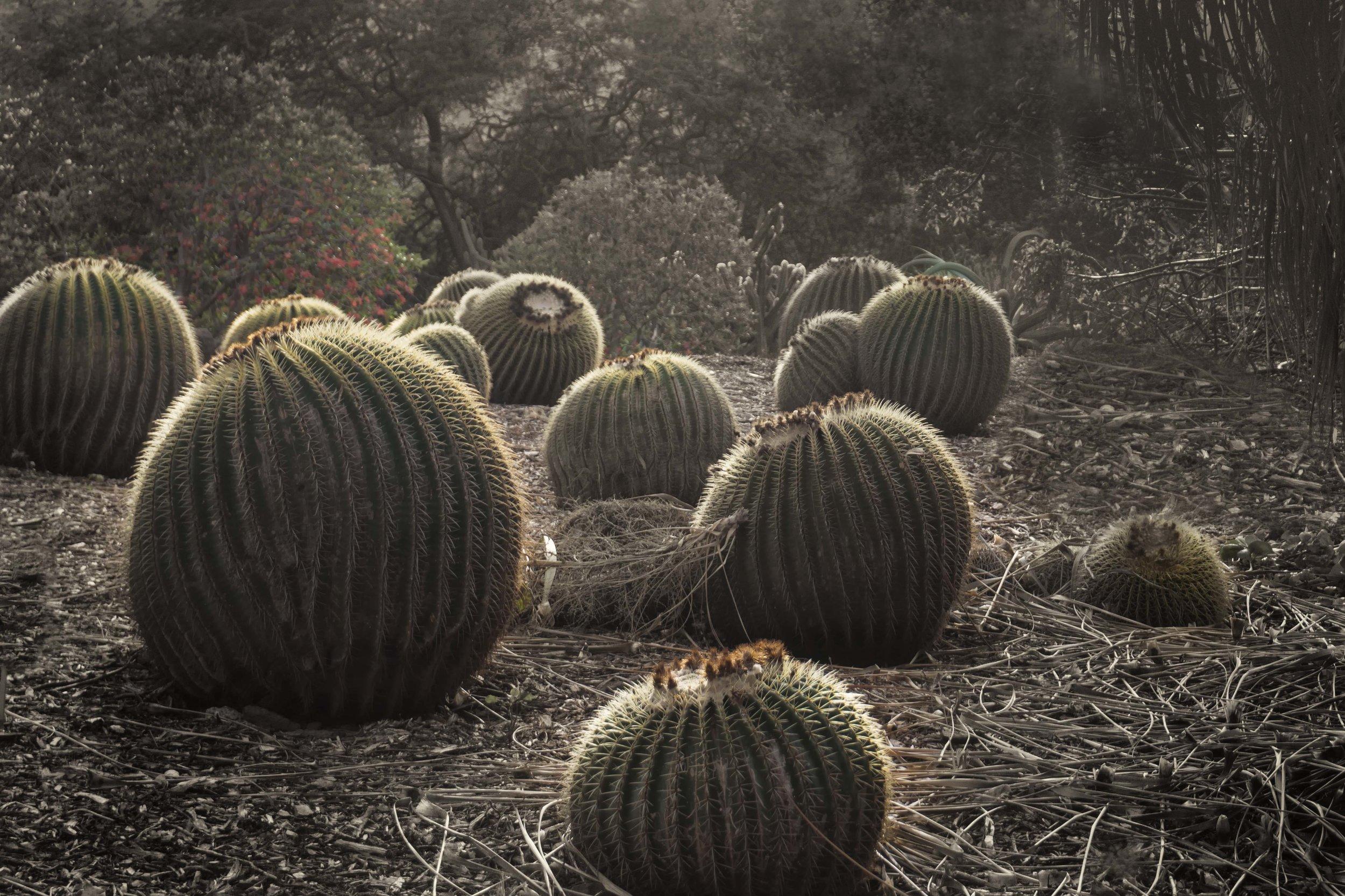 Biznaga de Zimapan  or Golden Barrel Cactus, Oahu, Hawaii