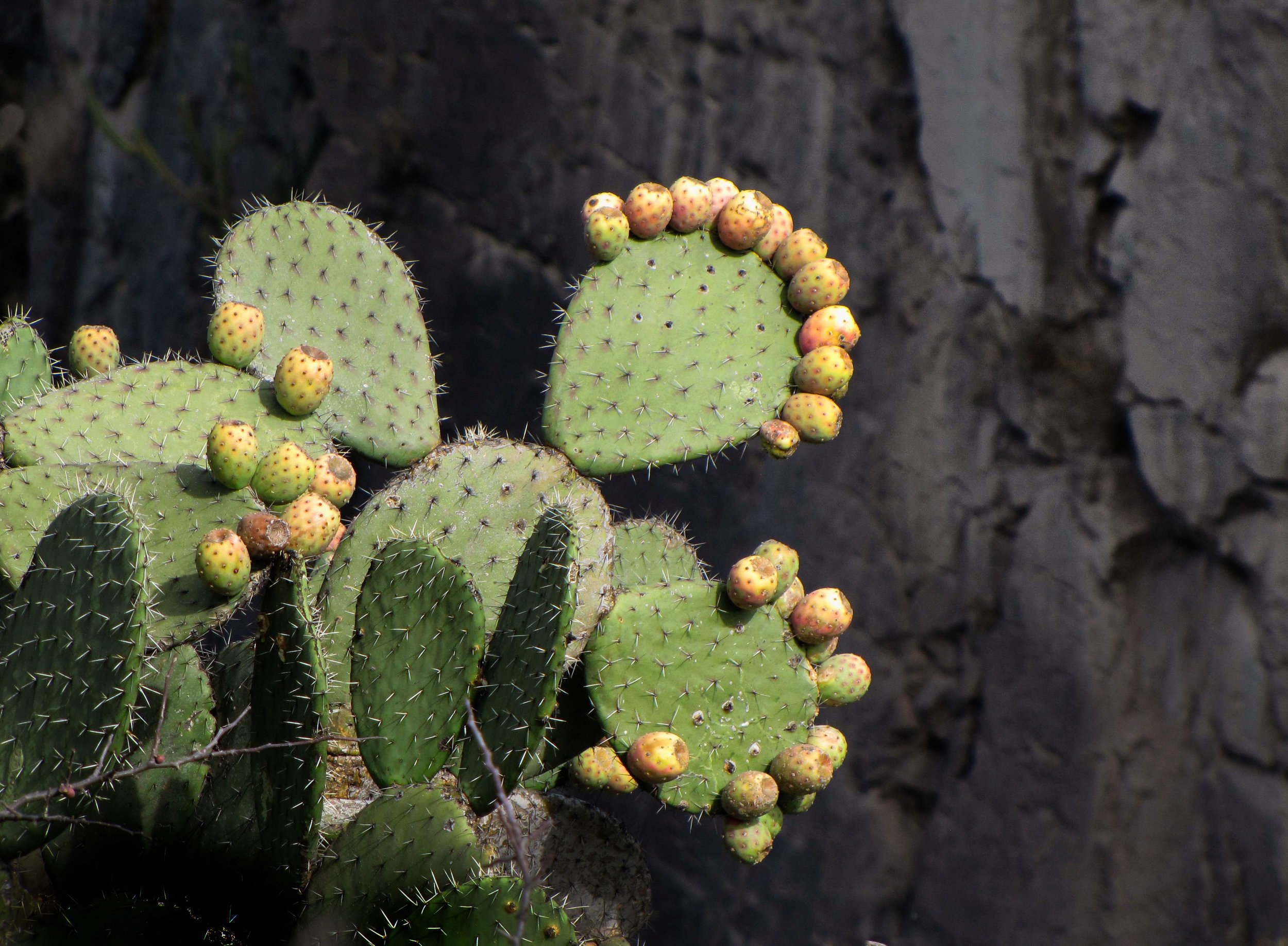 Nopal with canyon background