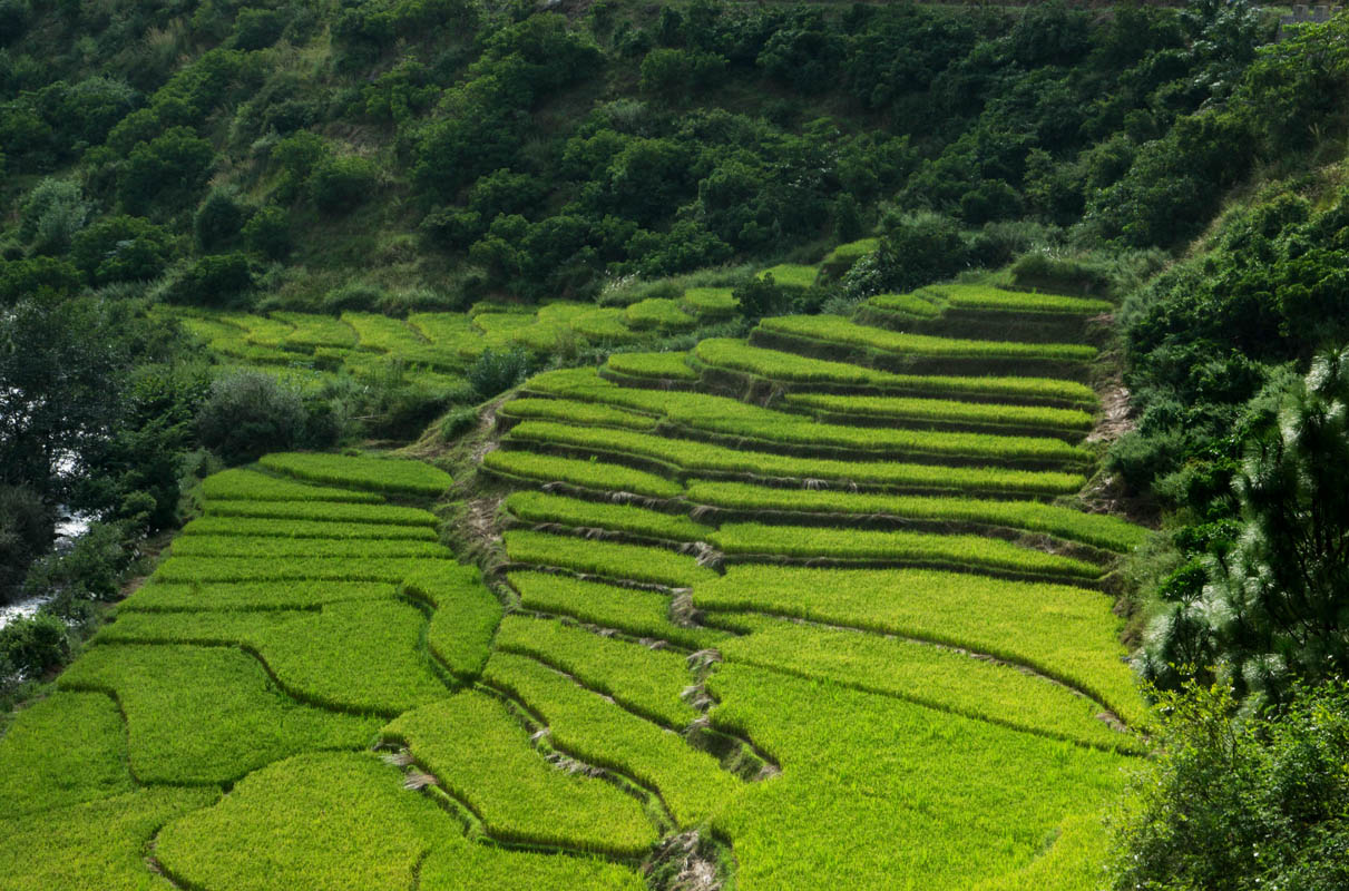 Rice-paddies-_DSC6431.jpg