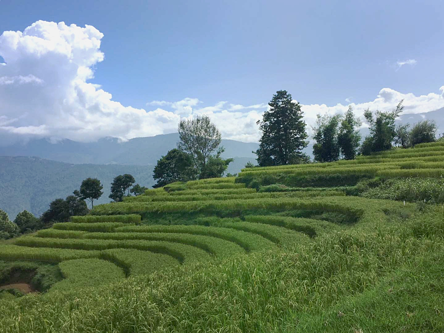 Rice-paddies-1-IMG_2659.jpg