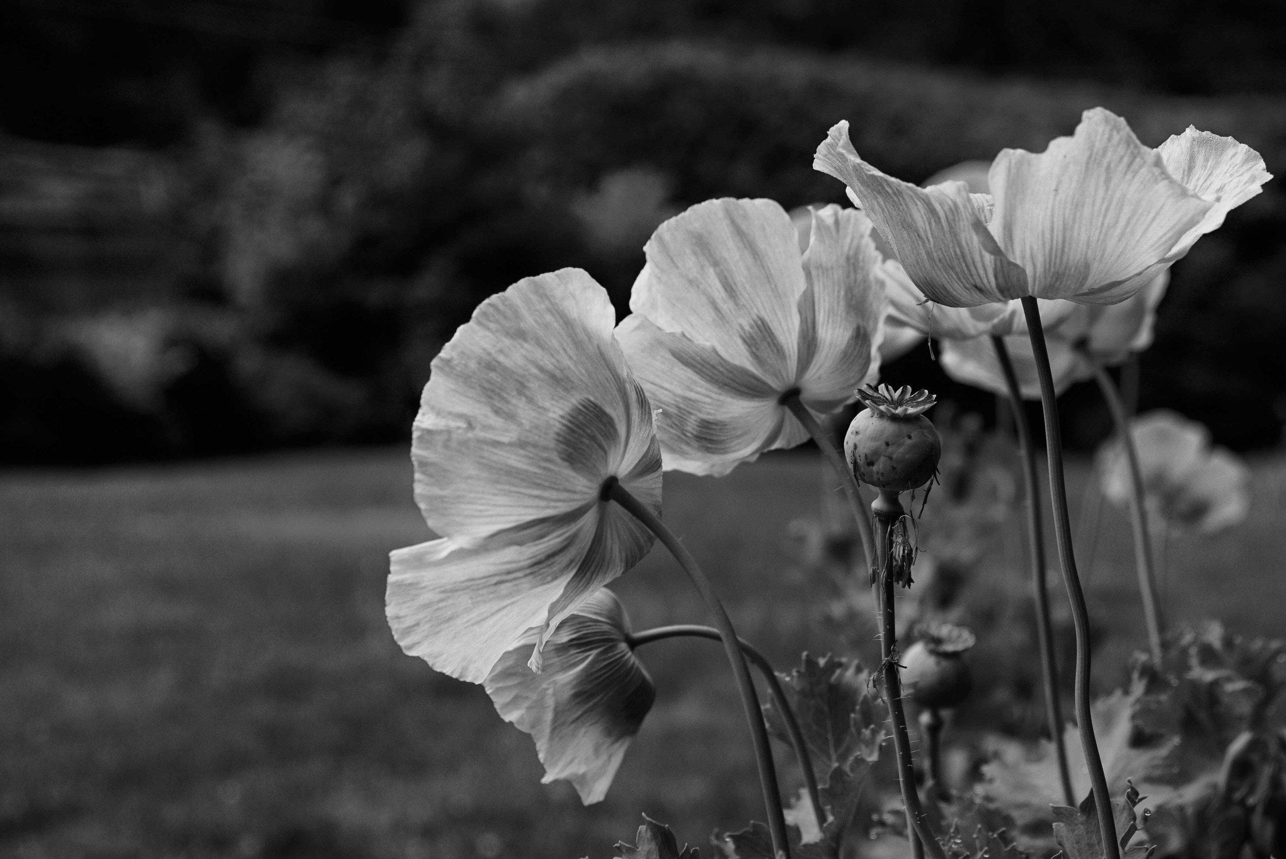 Group poppies B&W _DSC5626.jpg