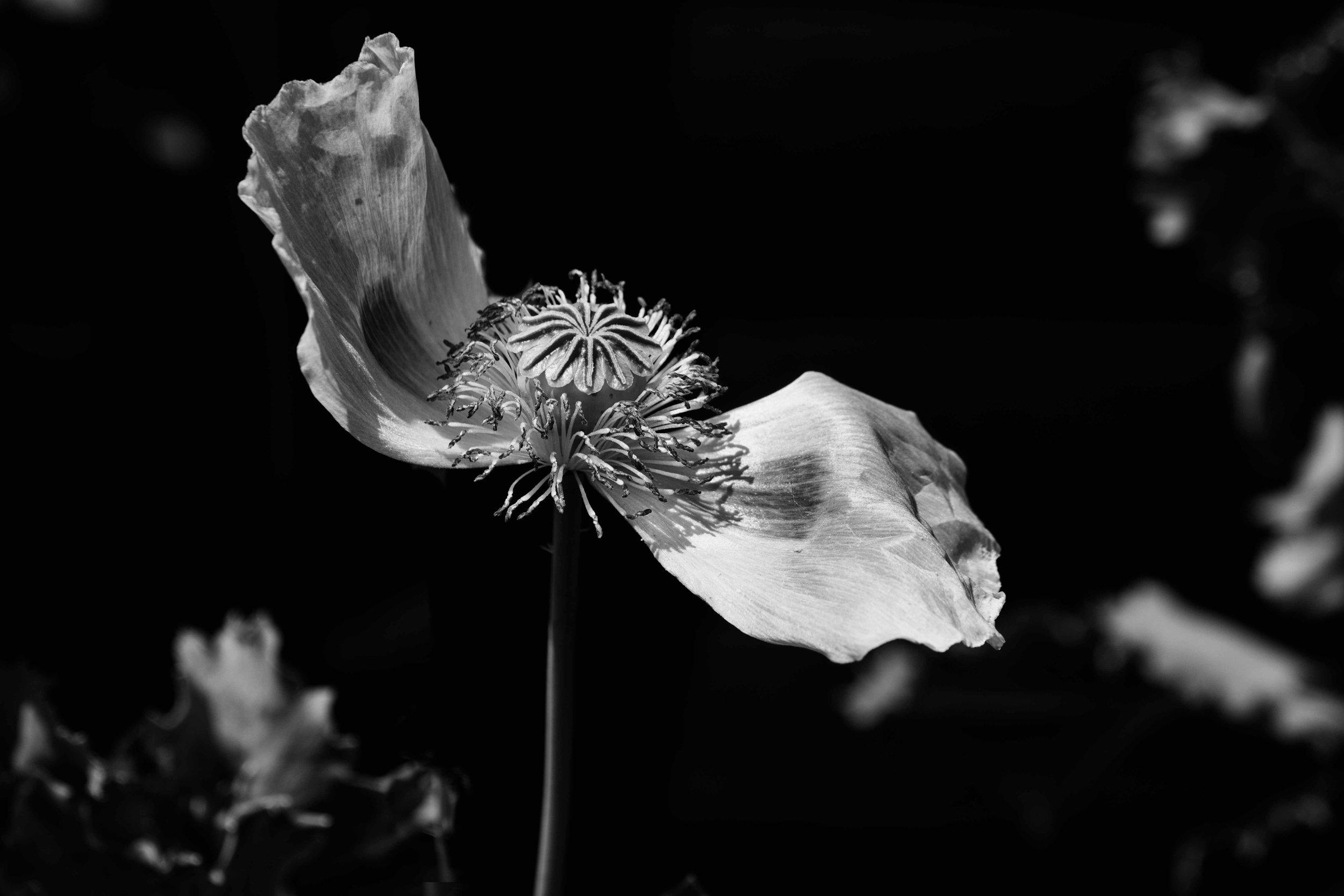 Shedding its petals