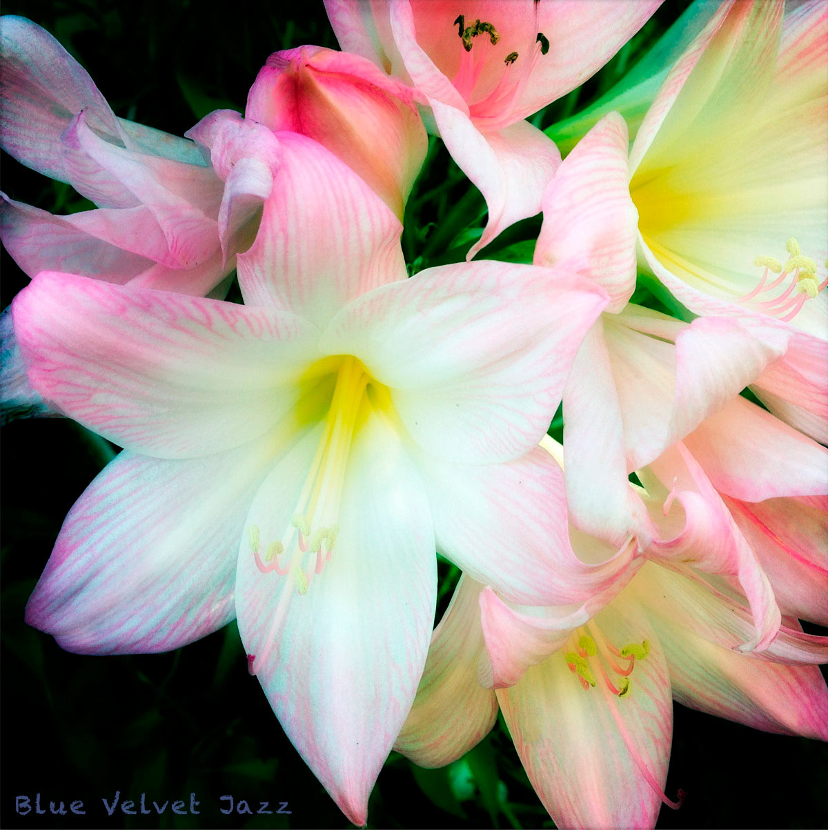 Blue Velvet Jazz flowers 4