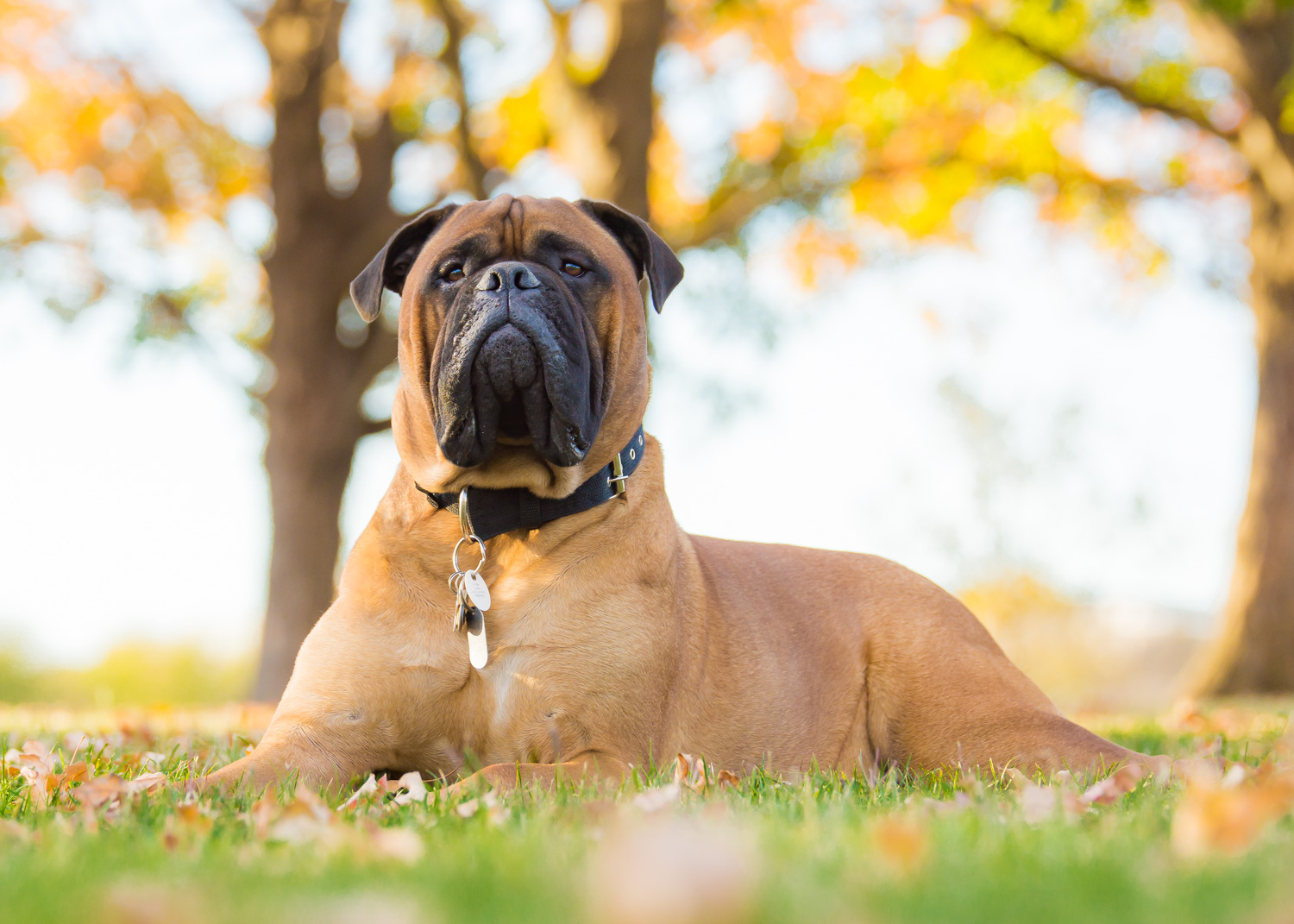 Mastiff in Autumn Posing on The DC National Mall