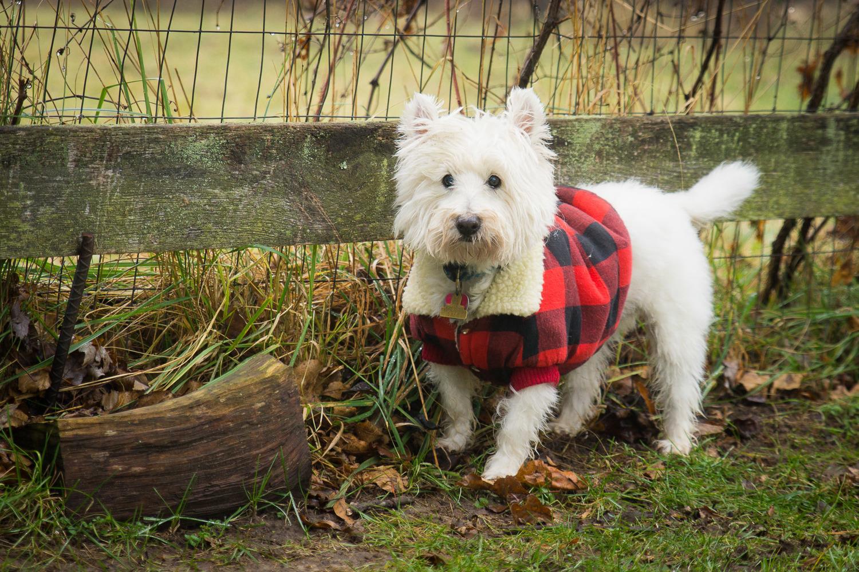 Dog in Jacket - Pet Photographer
