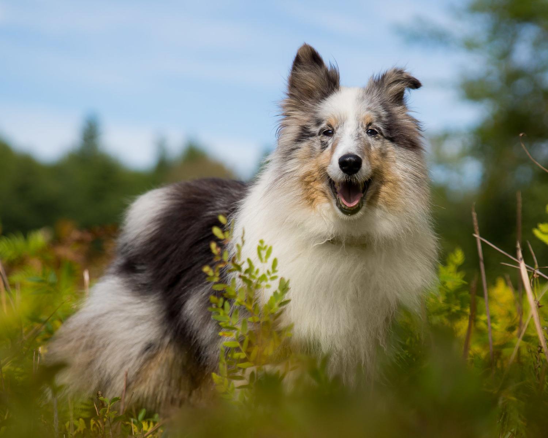 Sheltie Dog Photo Maine