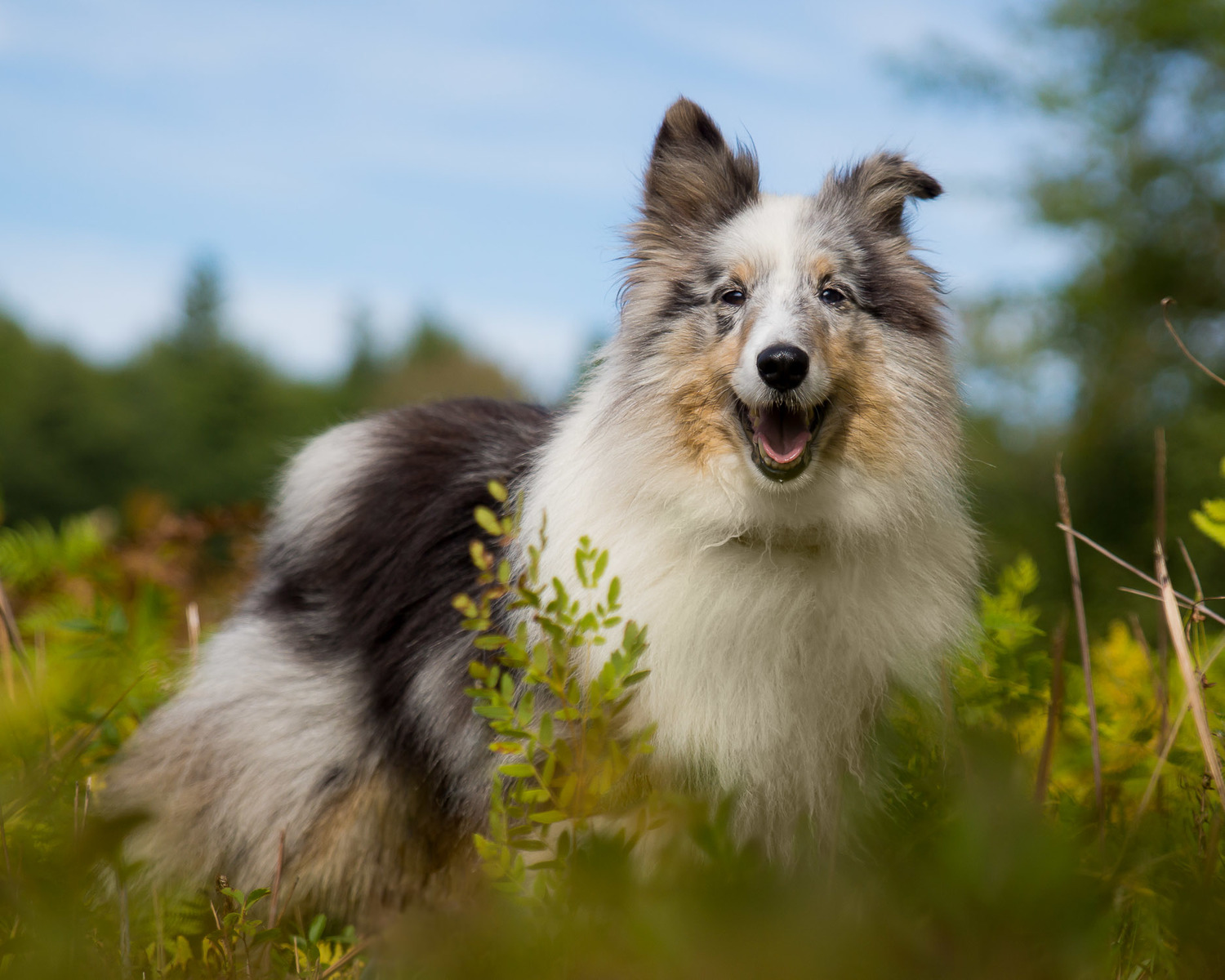 This Sheltie image was actually created on a hike in Maine.  It was about 1-2 hours before sunset and you can see how even the lighting is.