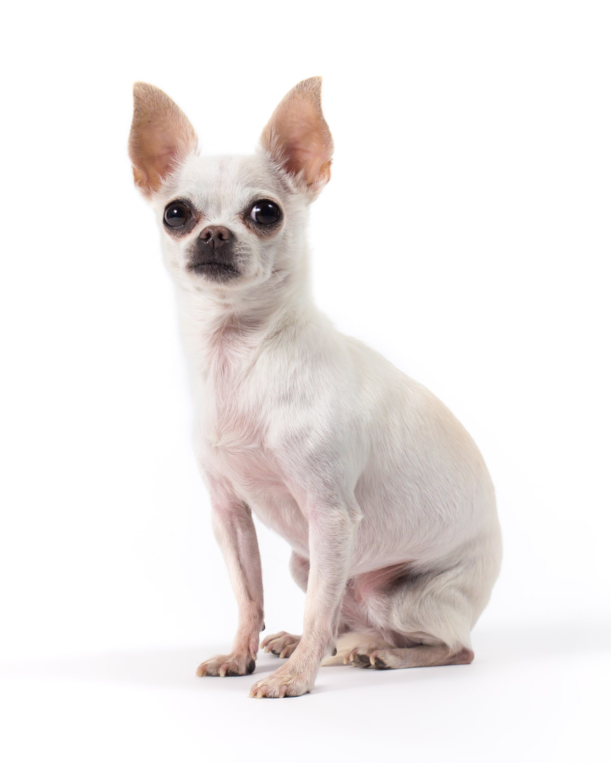 White Chihuahua - Pet Photographer