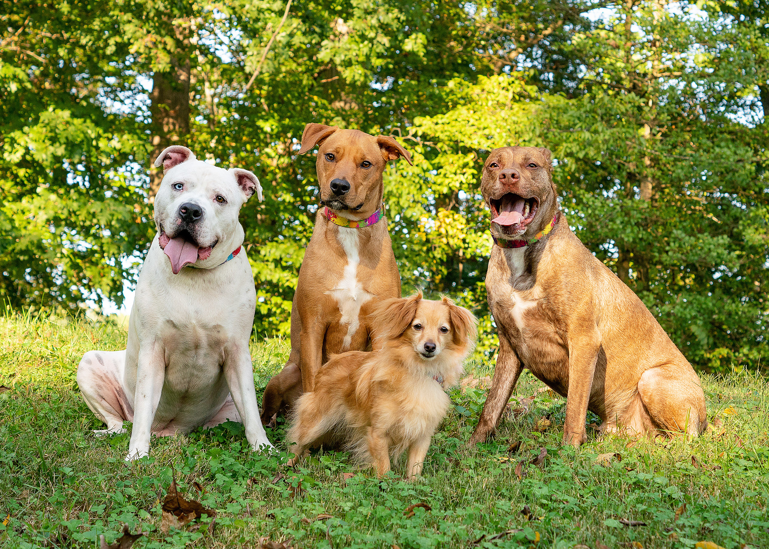 These four dogs were photographed in Rock Creek Park. They were all standing together with the help of a dog trainer and another assistant. Keep in mind the dogs did have leashes which we Photoshopped out of the image.