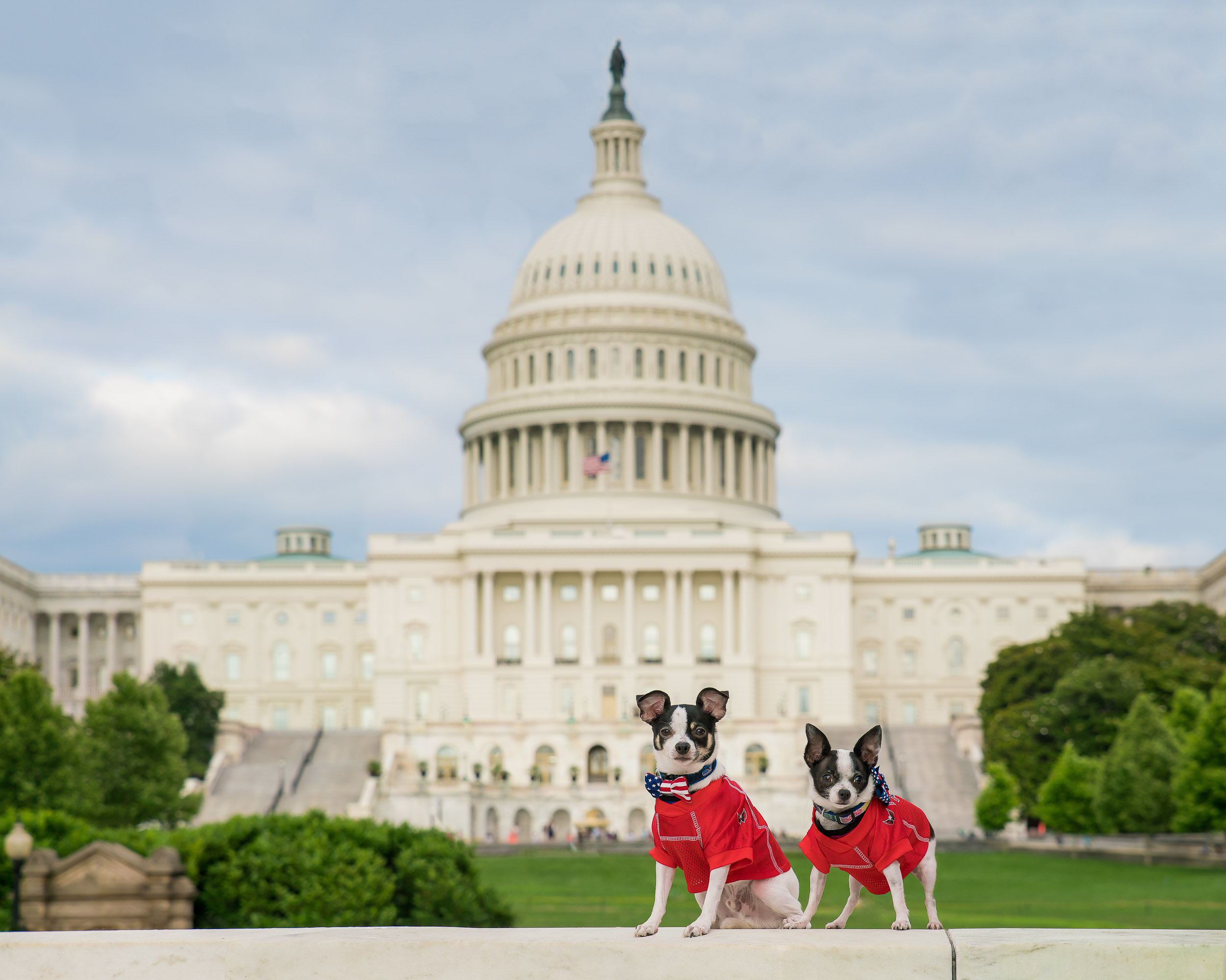 Here is another image with two chihuahuas in front of the US Capitol building. Yes, the dogs were really there (this is not a backdrop).
