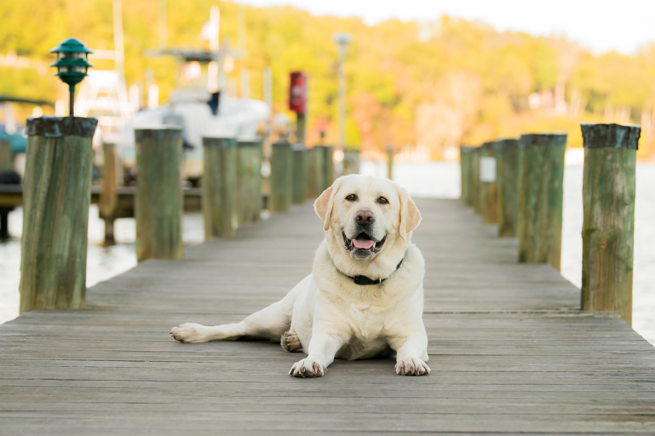 Labrador Retriever (Lab) Dog on the dock in Davidsonville Maryland