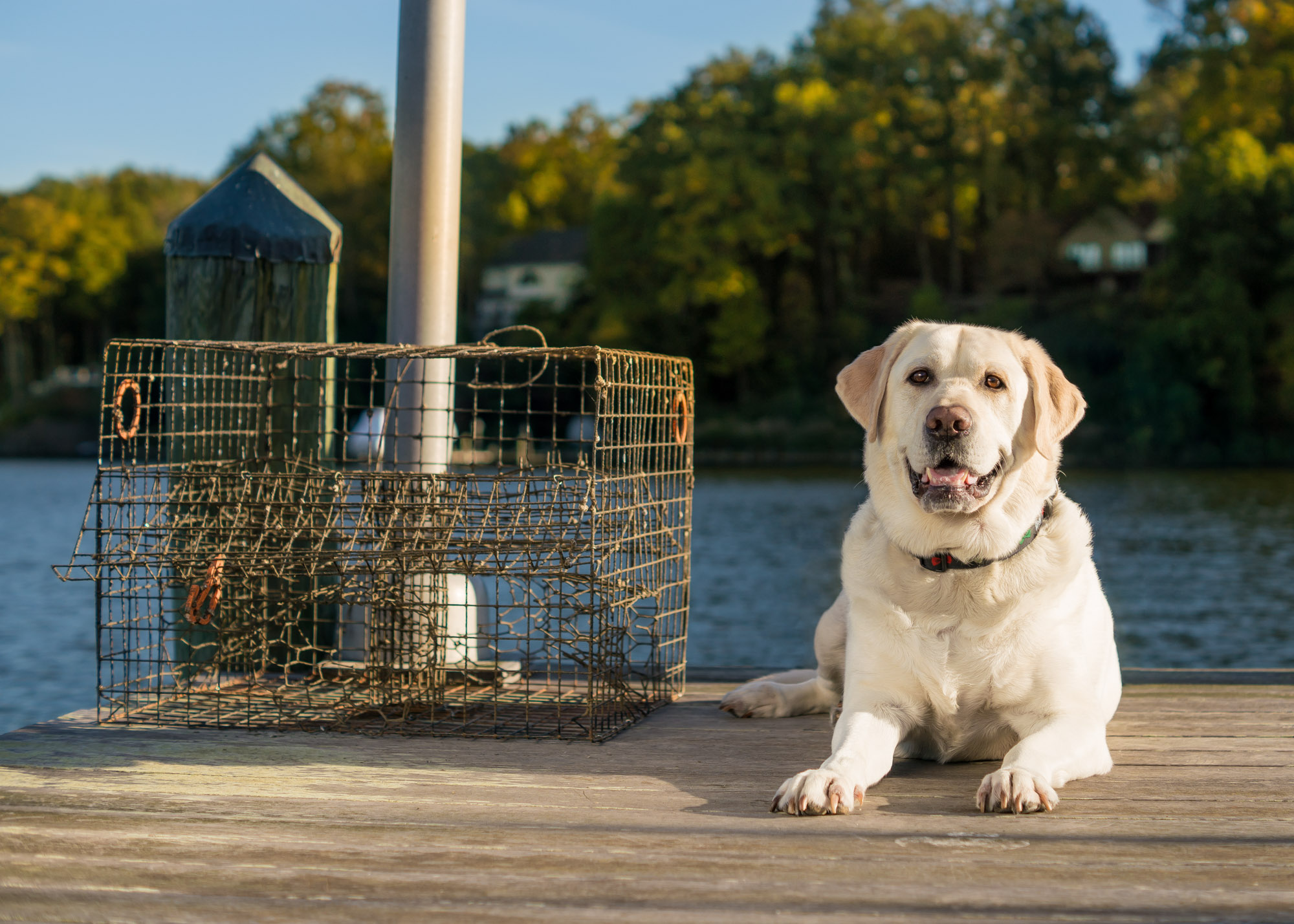 Labrador Retriever Near The Bay on the Water in Maryland