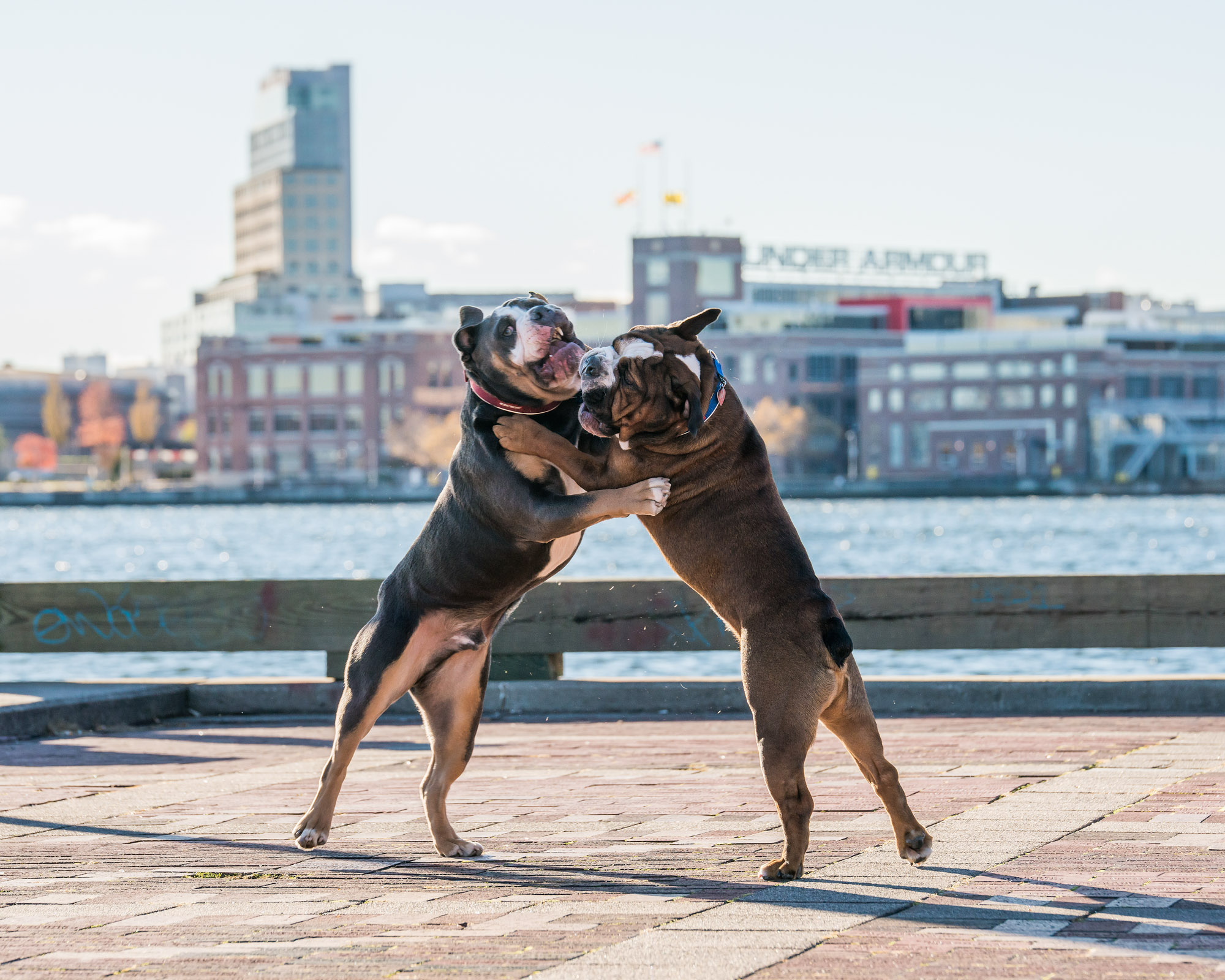 Two Bulldogs - Dogs Playing in Baltimore Maryland