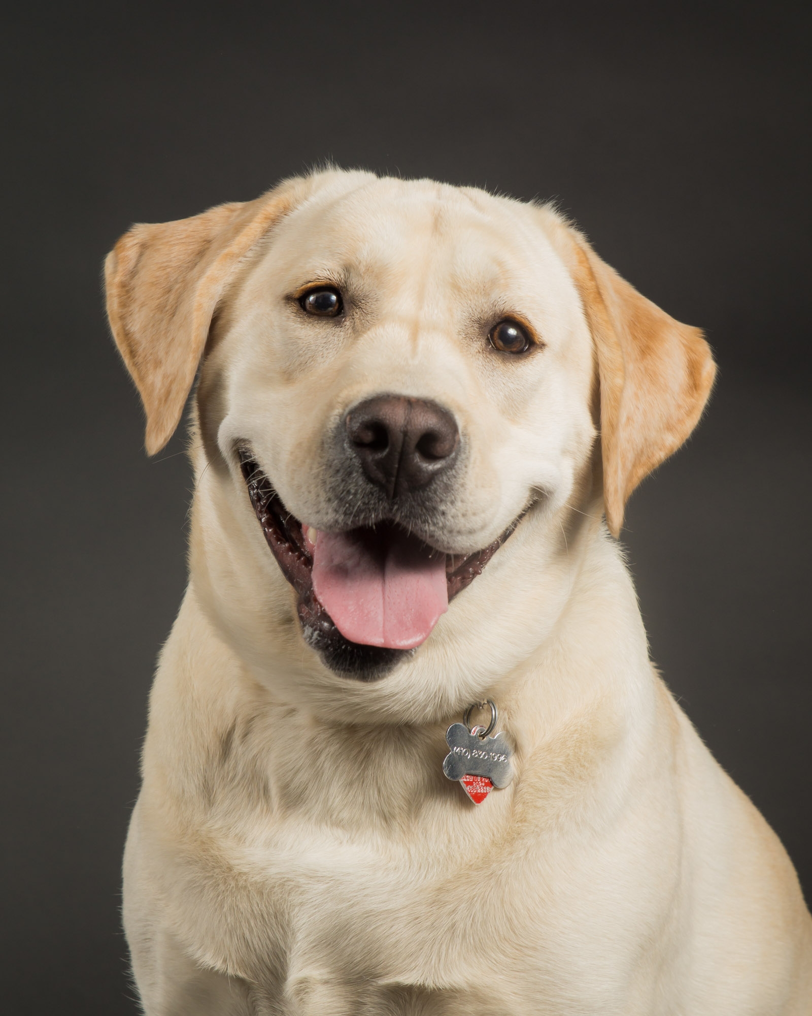 Yellow Lab against Grey Background