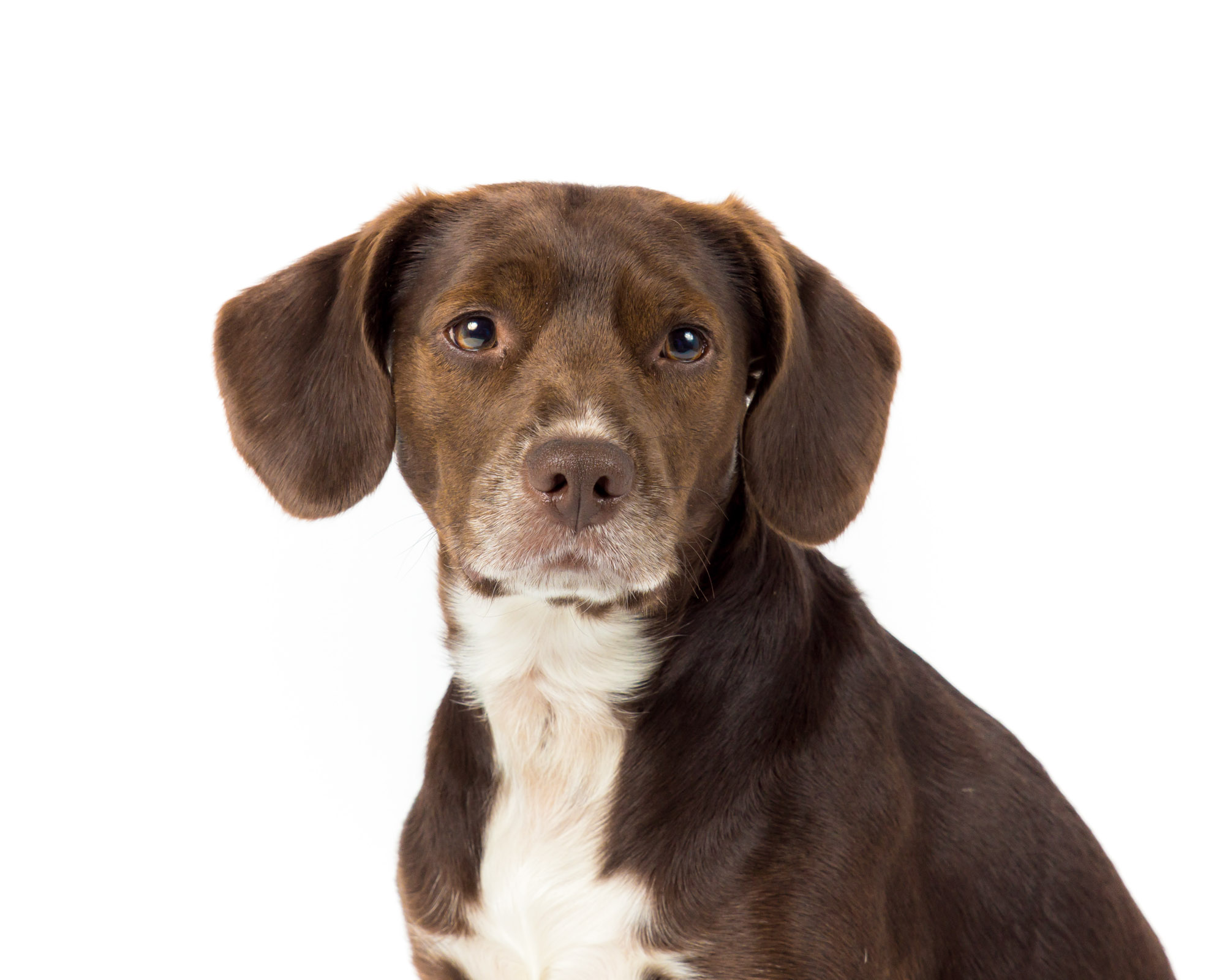 Brown Dog Headshot Photography