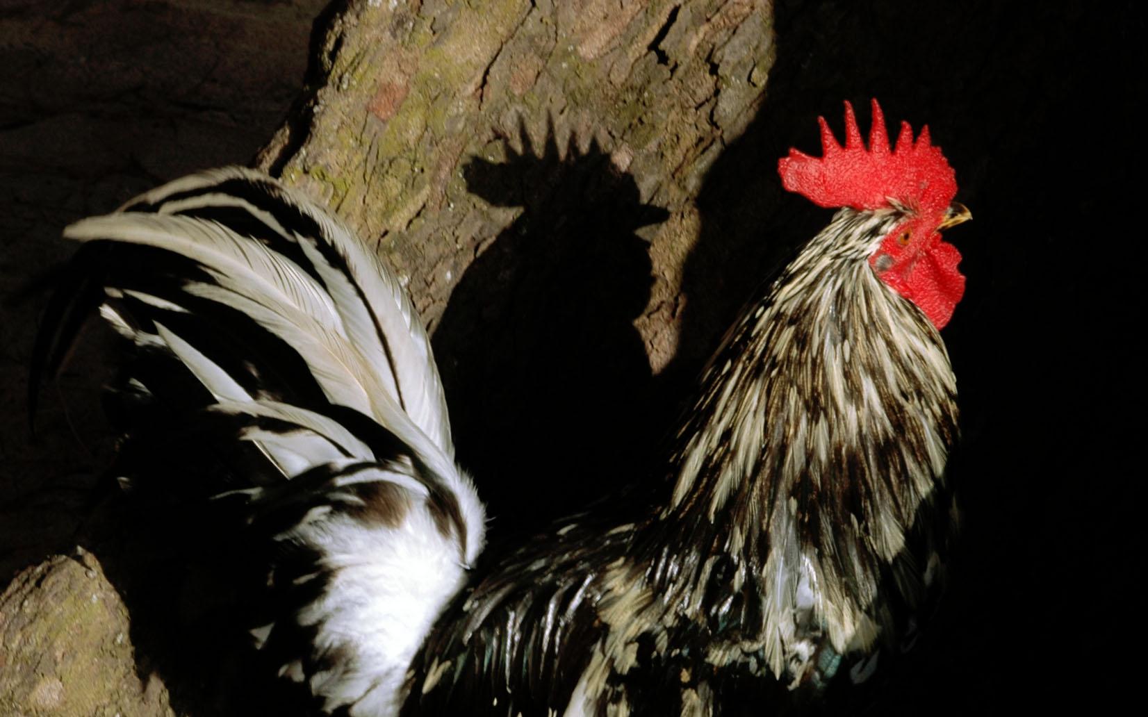 Oldmancock.jpg