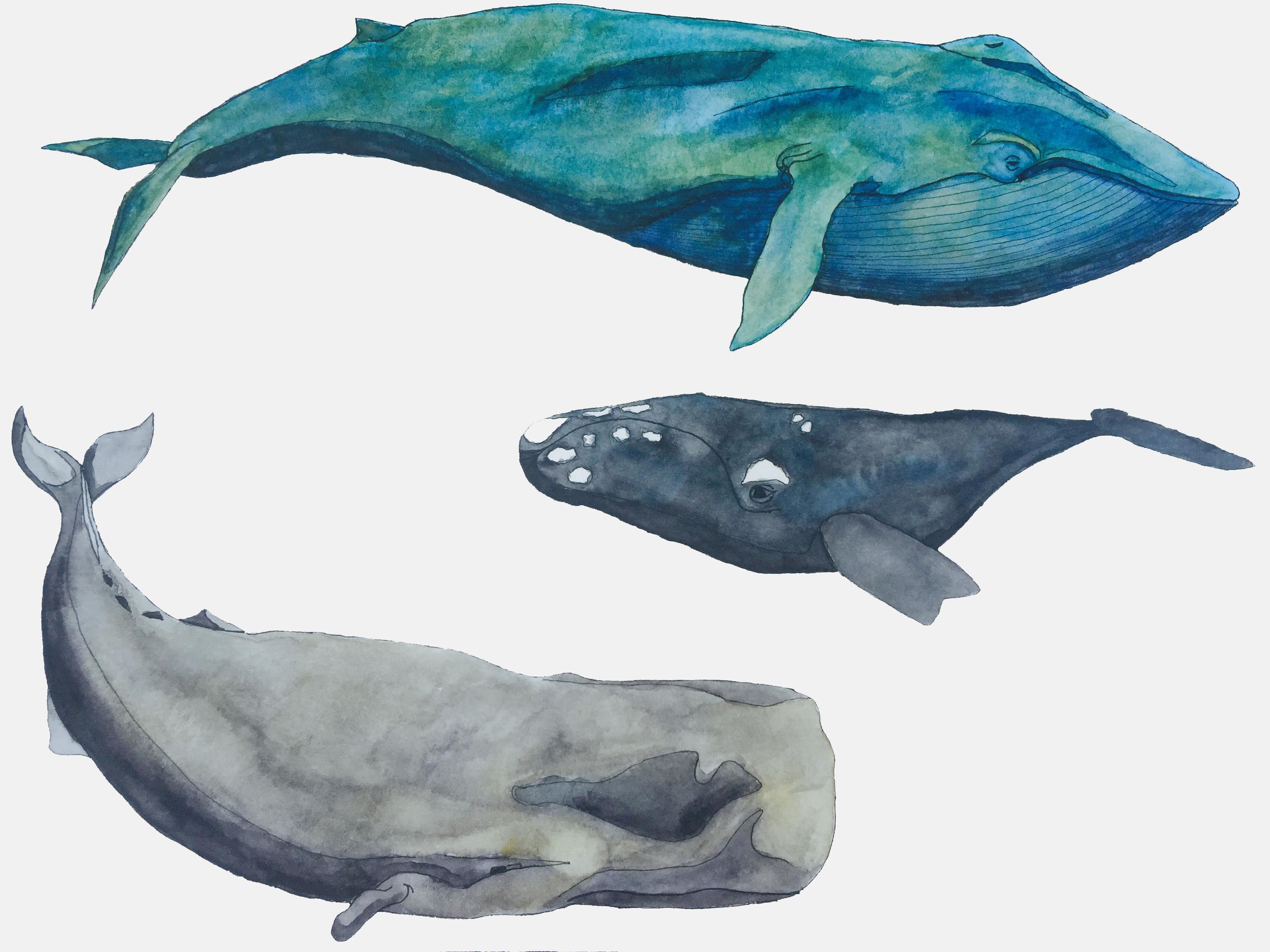 2015.07.21.Whales.watercolor.jpg