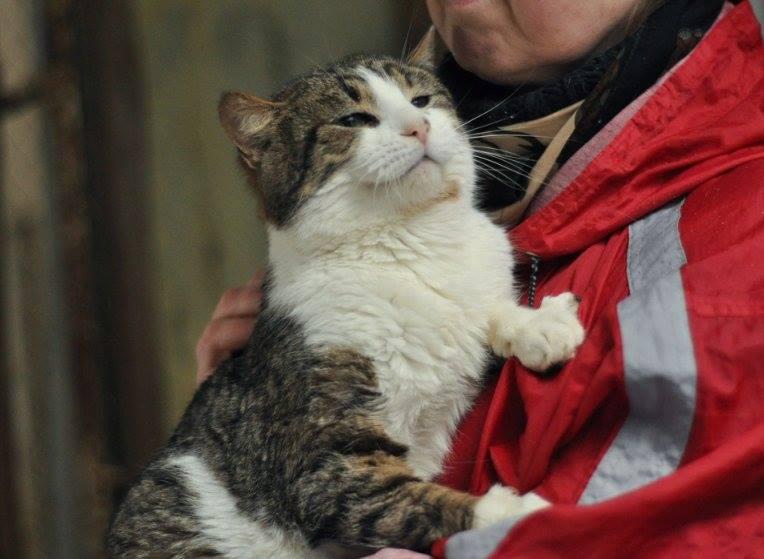 Артур, відданий та спокійний дорослий кіт