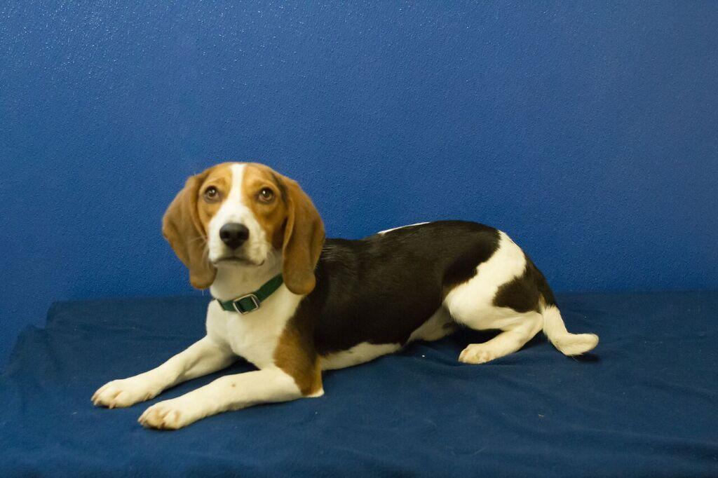 3-31-2016-02 Sammy, Beagle male.jpg
