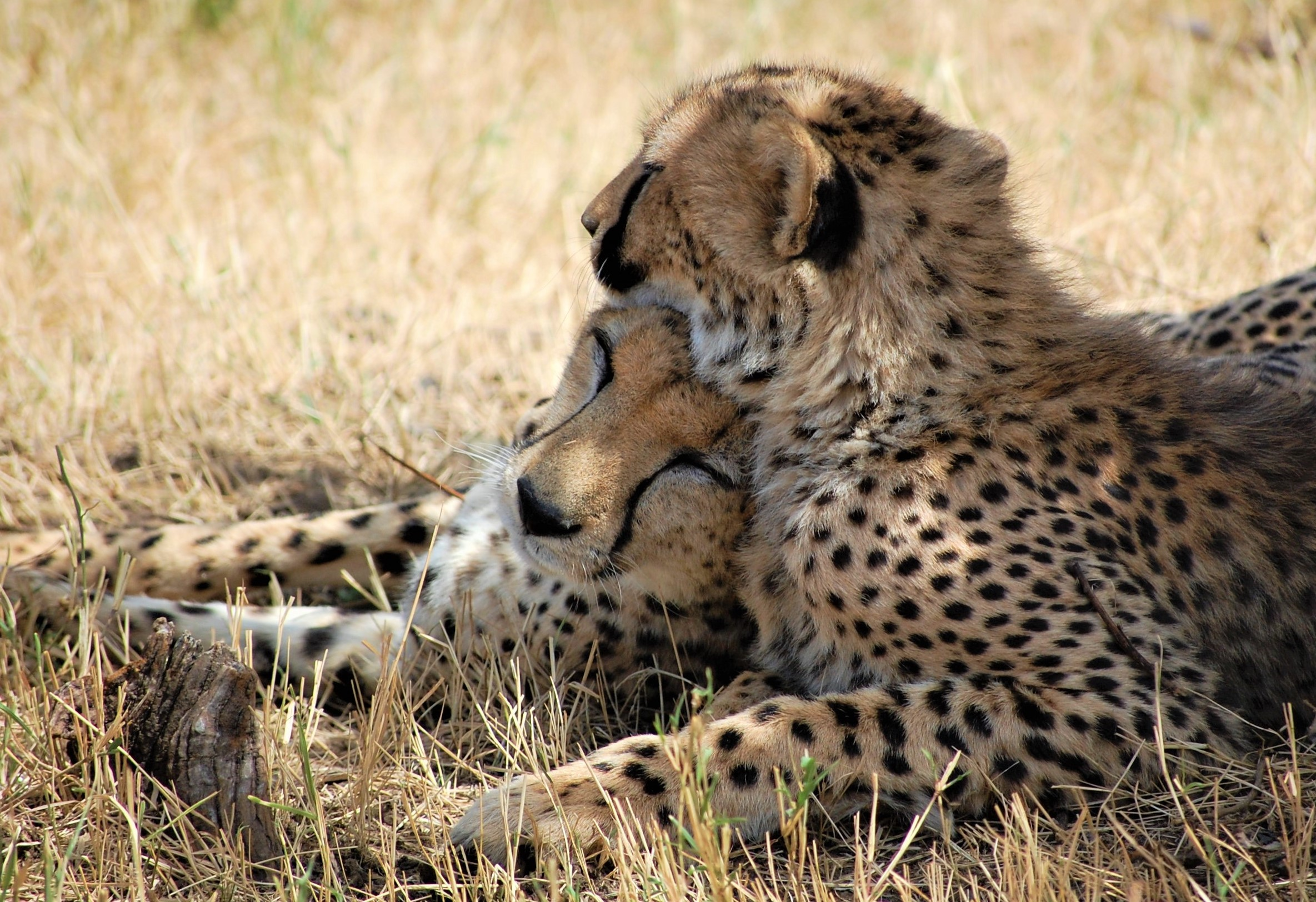 Cheetah Cuddle