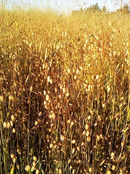 cagrass.jpg