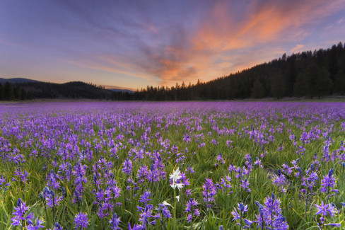 A not atypical camas meadow. The closest thing we have to paleo monoculture.