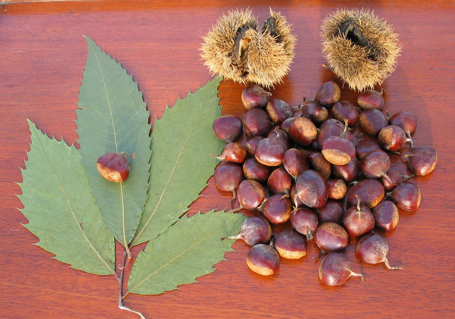 American chestnut. Very similar to store bought chestnuts.