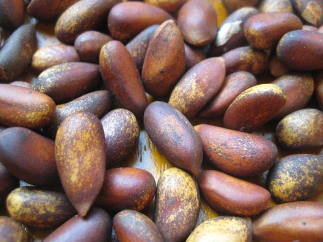 Nevada soft-shelled pine nuts. Full of PUFAs, but who cares!?