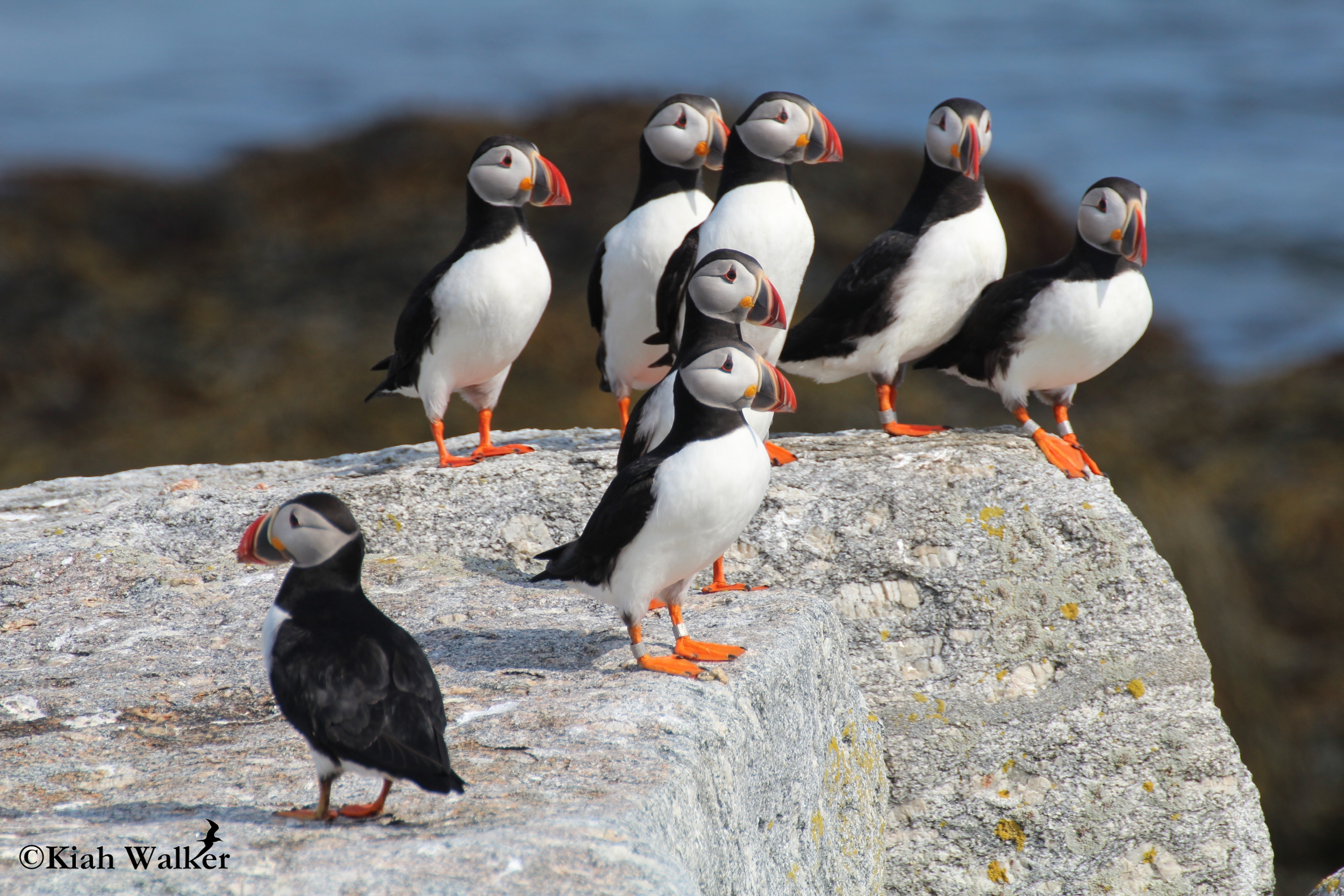 Atlantic puffins ( Fratercula arctica ) gathered on a loafing ledge