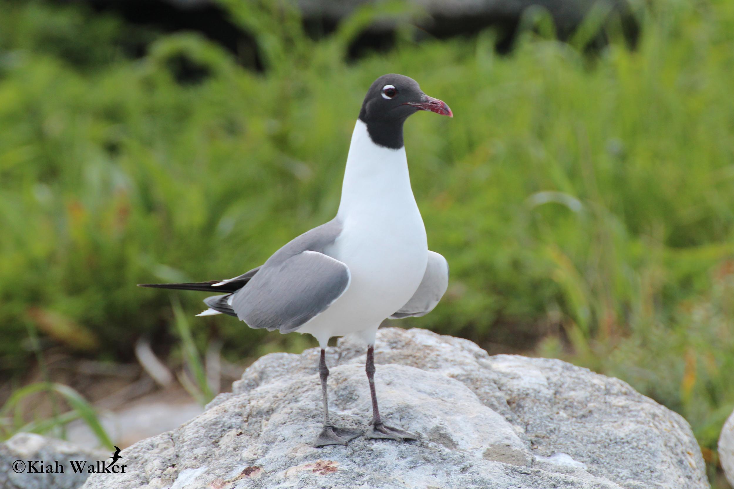 Laughing gull ( Leucophaeus atricilla )