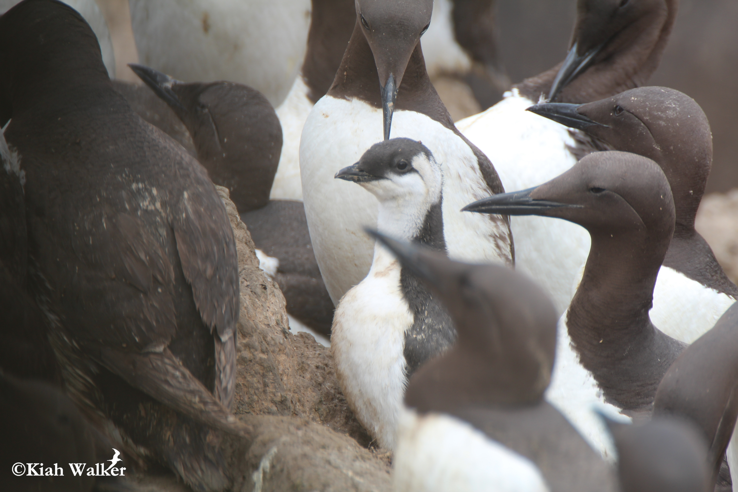 Common murre ( Uria aalge ) chick nearing fledge