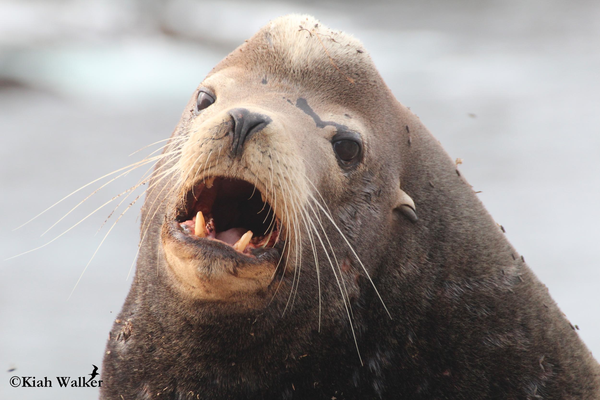 California sea lion ( Zalophus californianus )