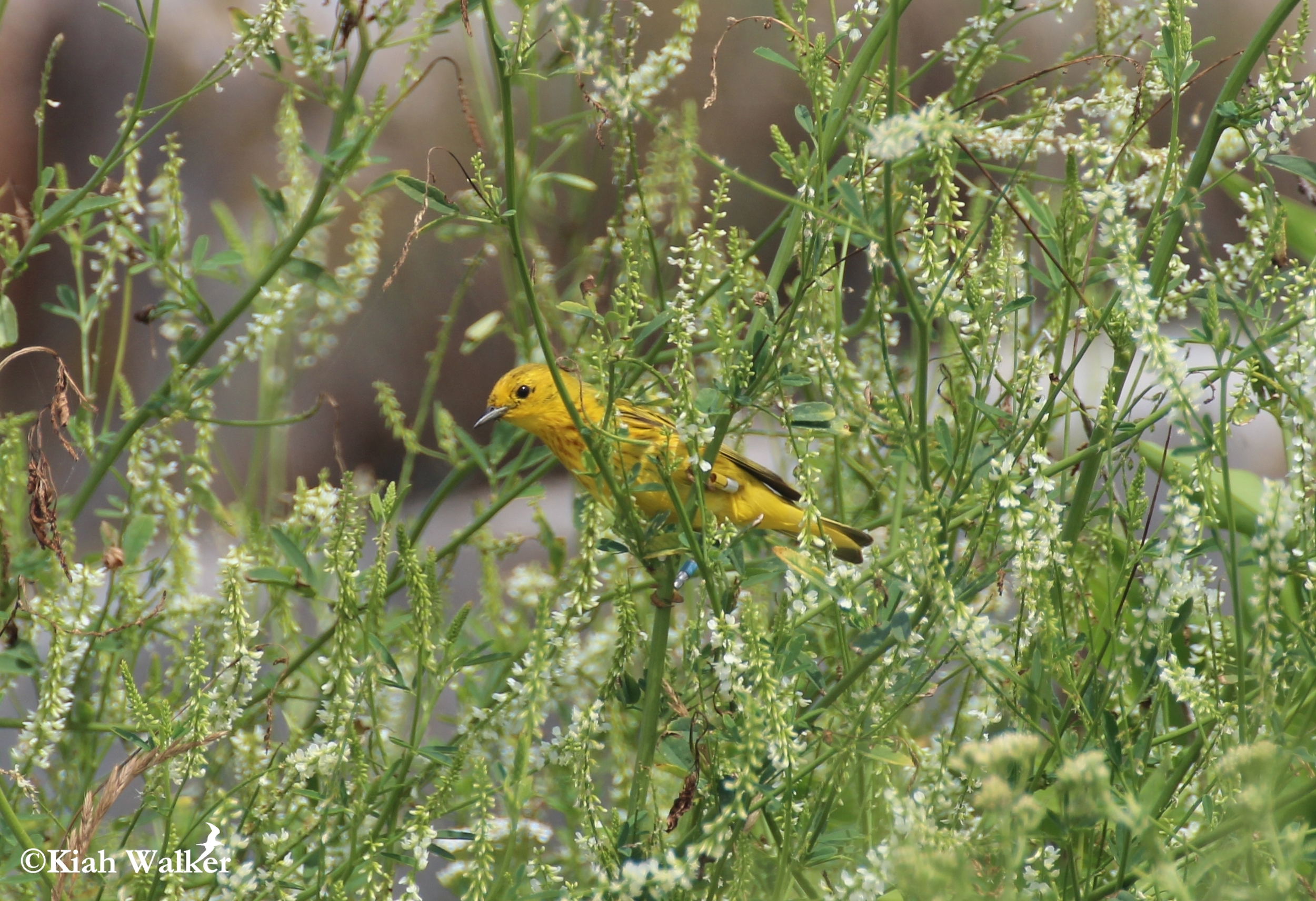 Yellow warbler ( Setophaga petechia ) with color bands