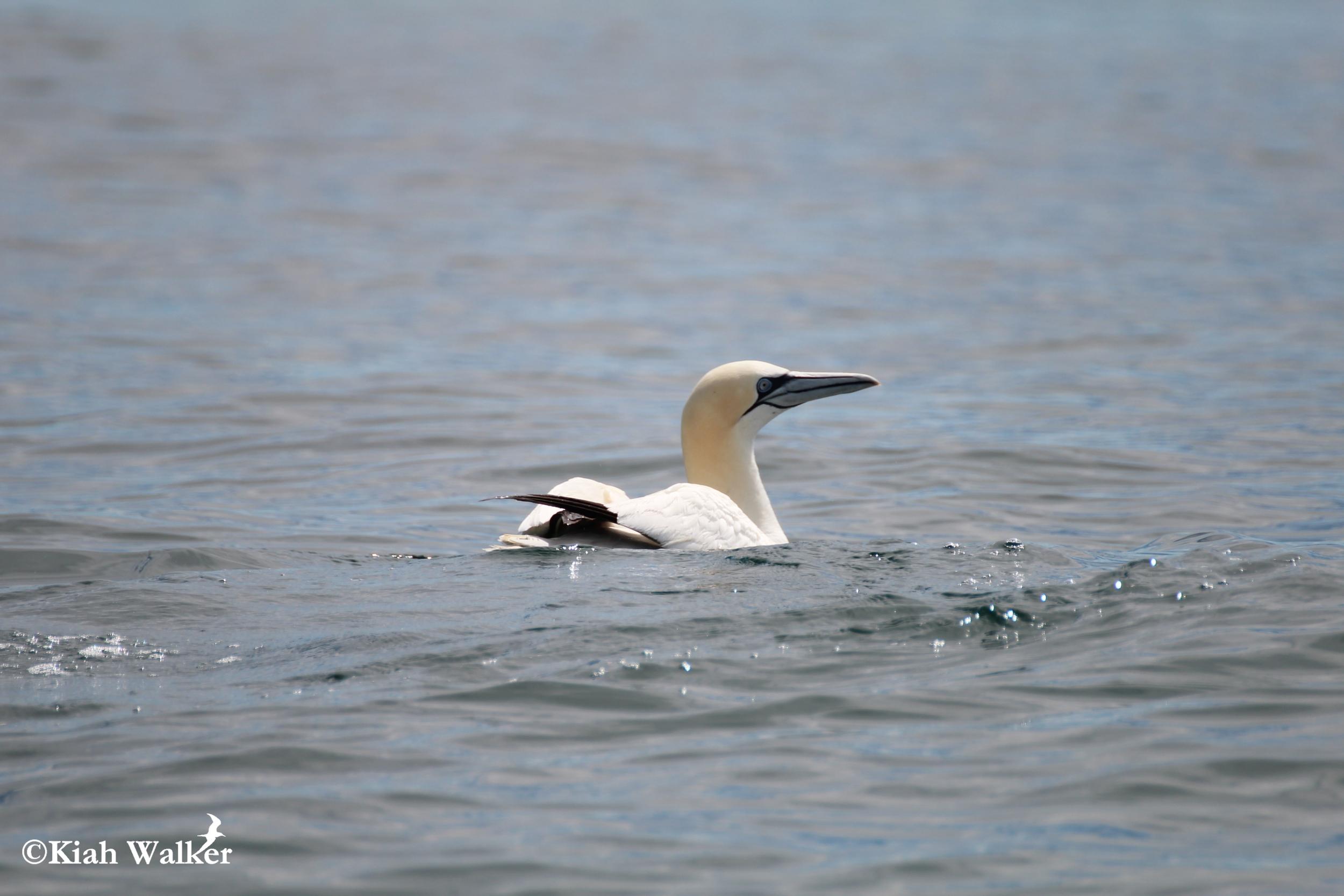 Northern gannet ( Sula bassana )