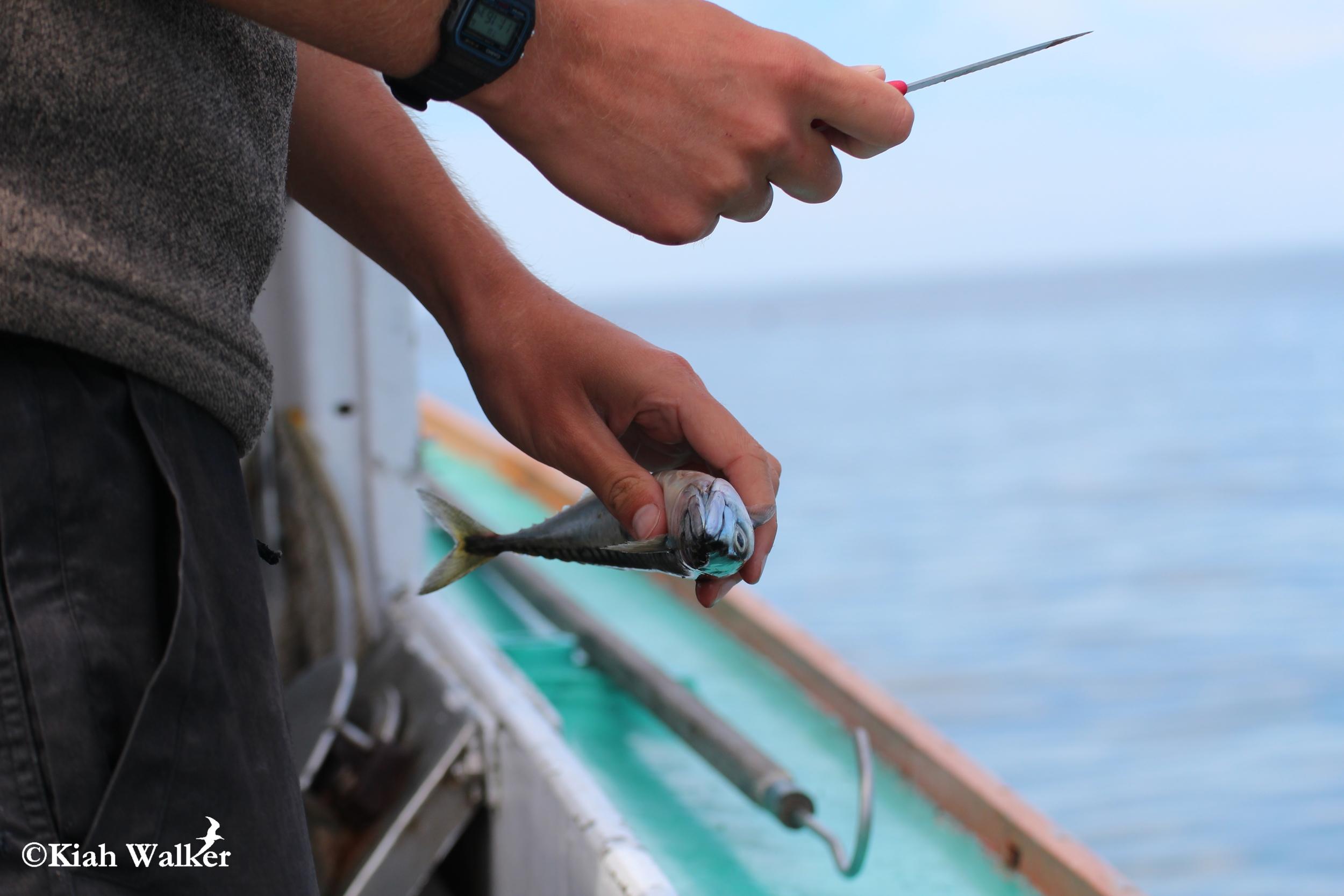 Atlantic mackerel ( Scomber scombrus )