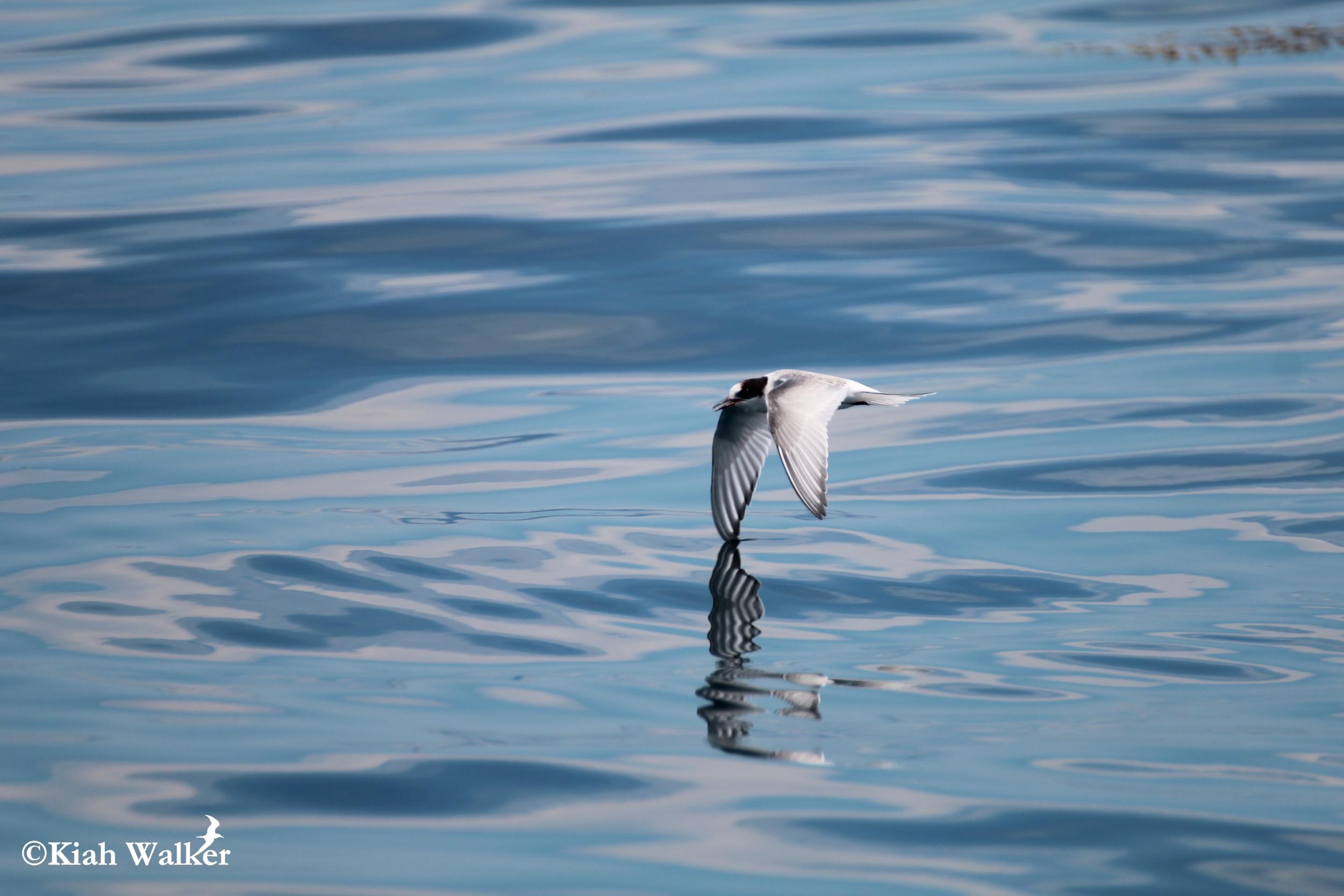 Arctic tern ( Sterna paradisaea )
