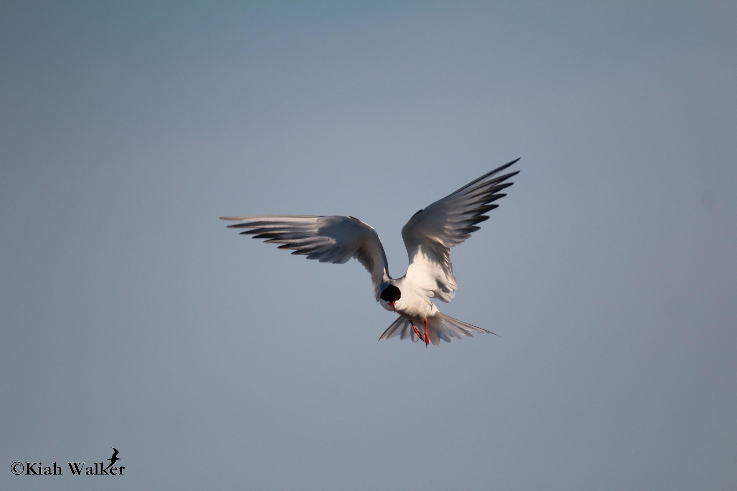 Common tern ( Sterna hirundo )