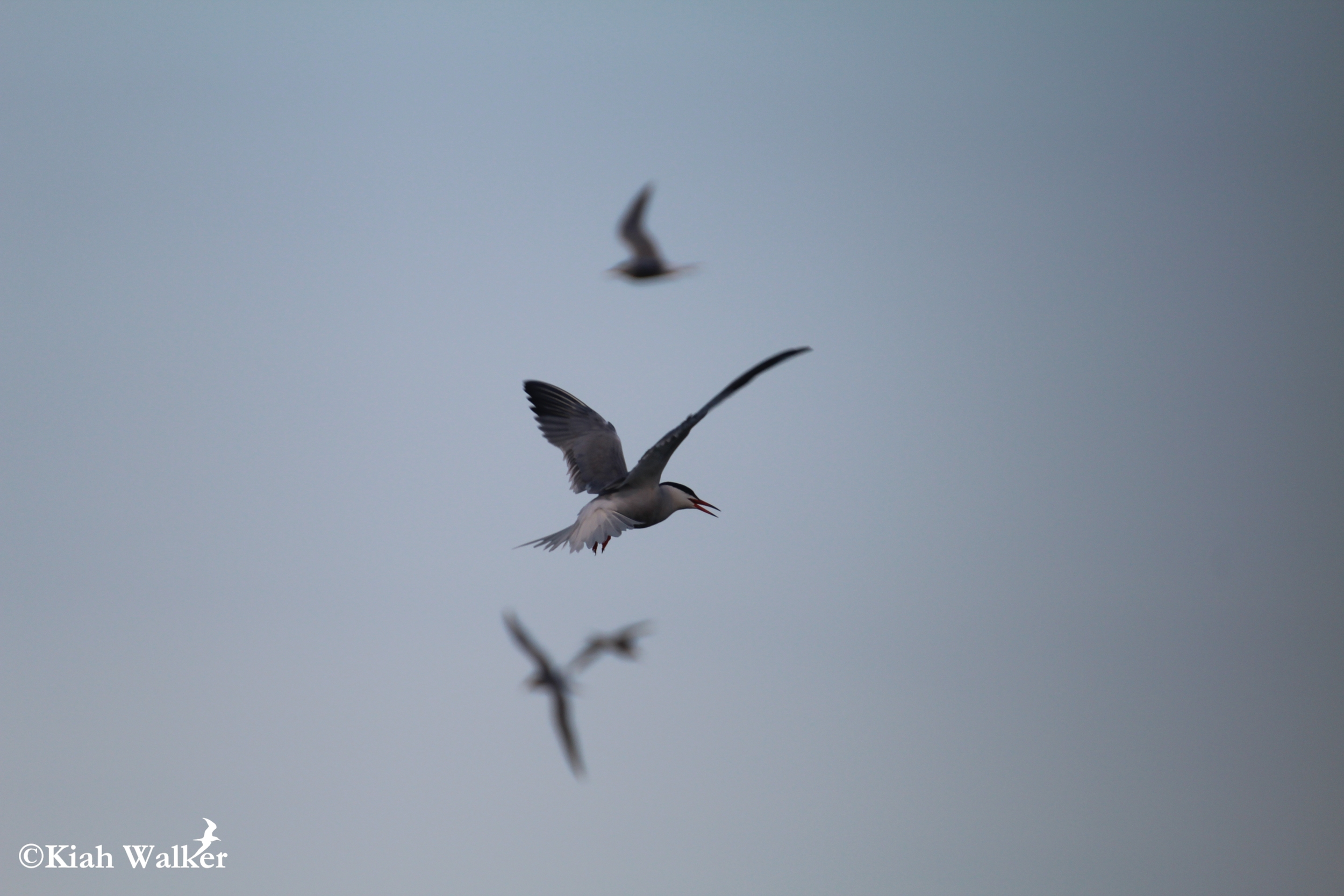 Common terns ( Sterna hirundo )