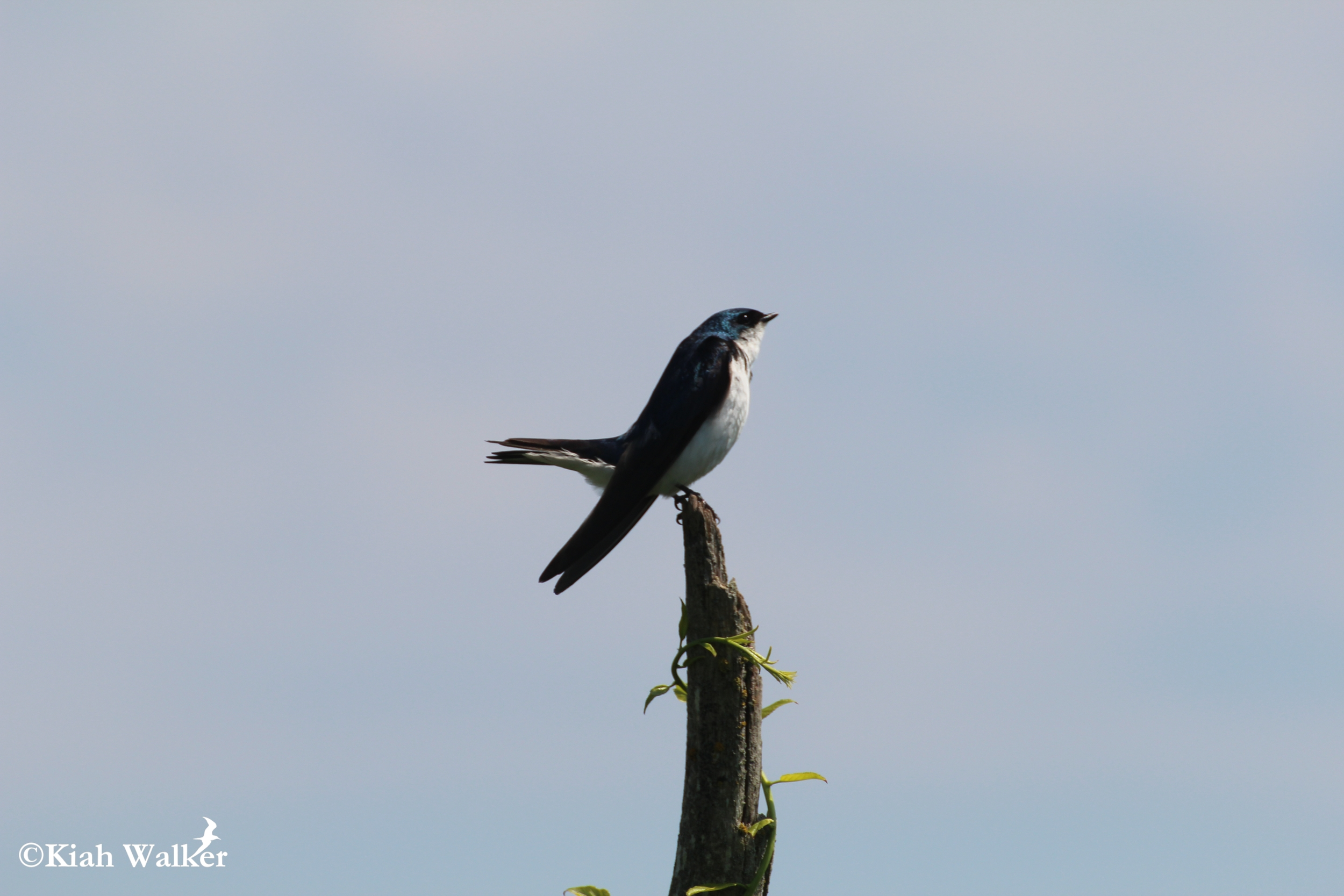 Tree swallow ( Tachycineta bicolor ), Stratton Island, Maine
